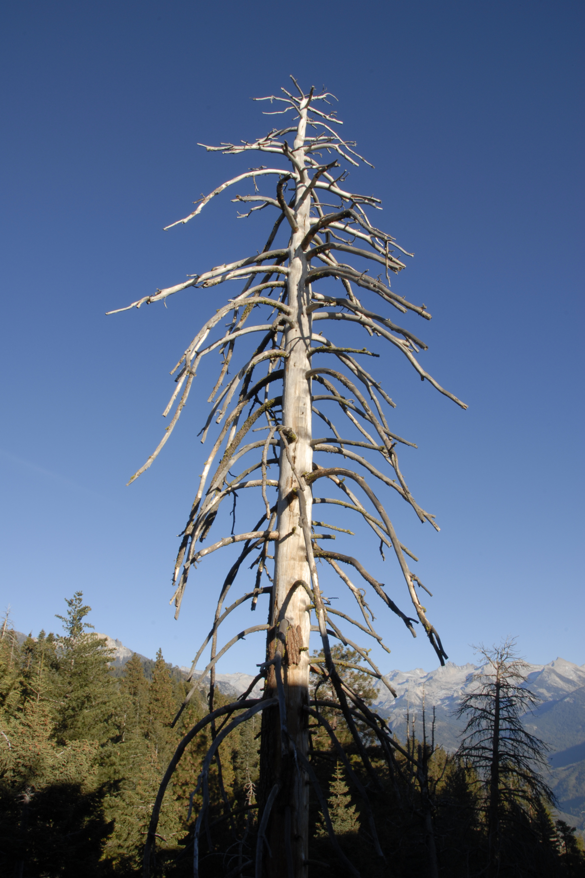 Lifeless pine in sequoia national park photo