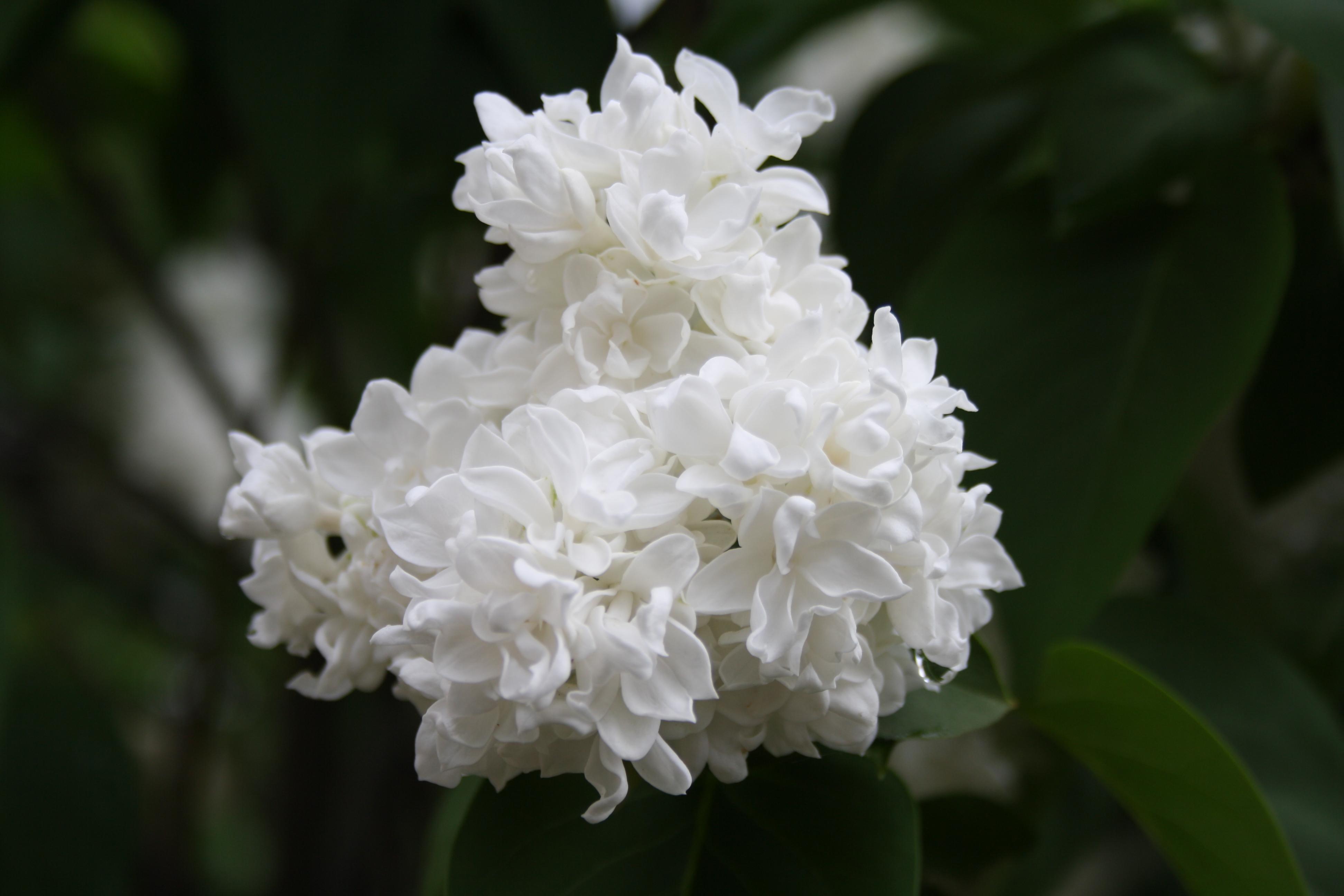 Free Photo Lilac Flower White Syringa Lilac Non Commercial