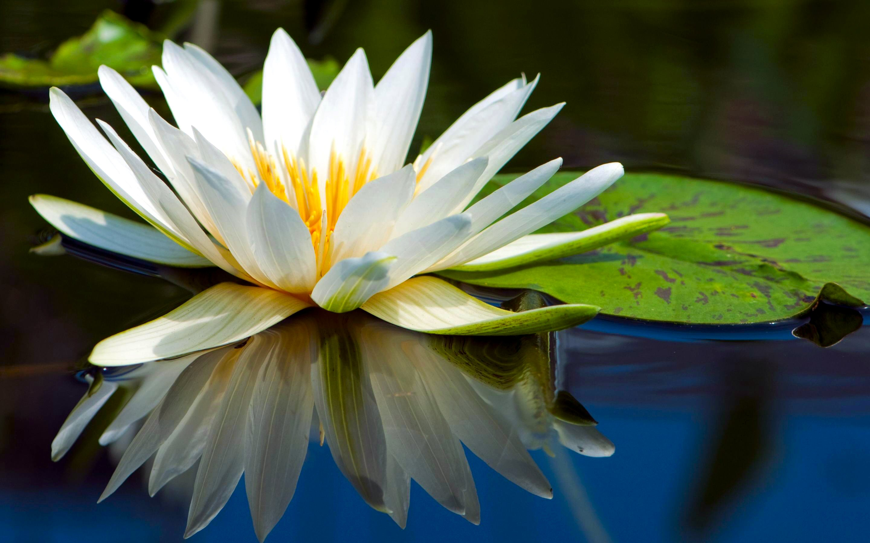 158 Water Lily HD Wallpapers | Background Images - Wallpaper Abyss