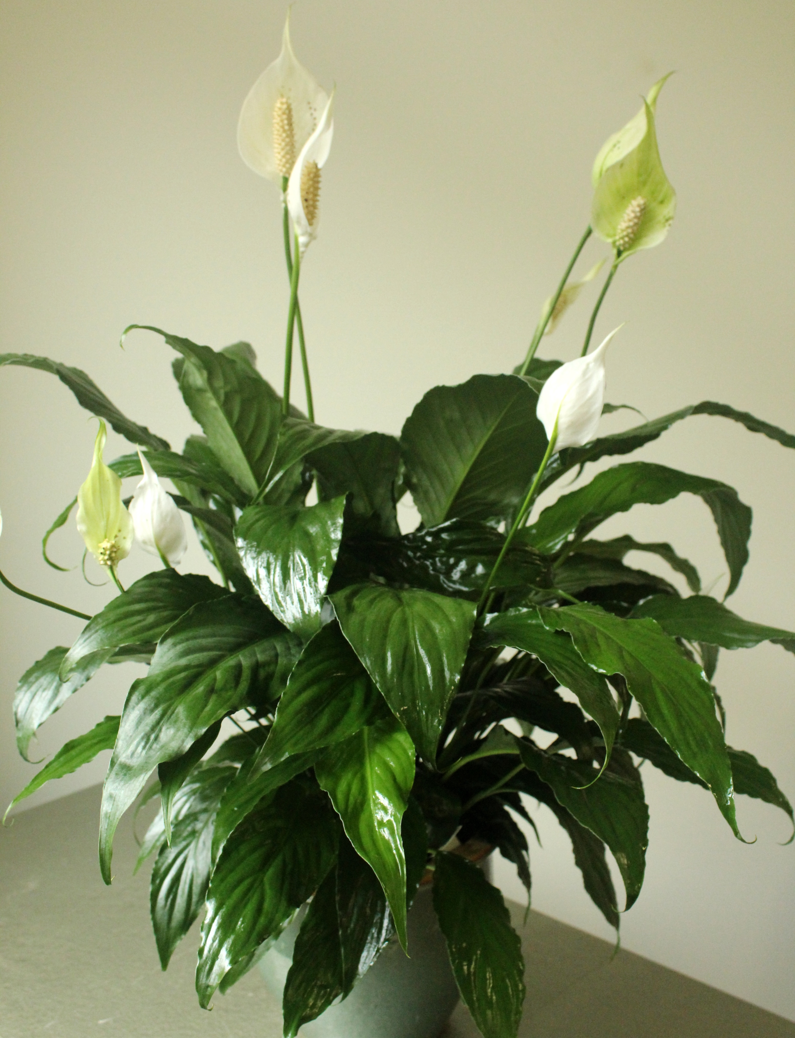 Free photo lily plants pedals pretty free download jooinn studleys peace lily green plant studleys flower gardens izmirmasajfo
