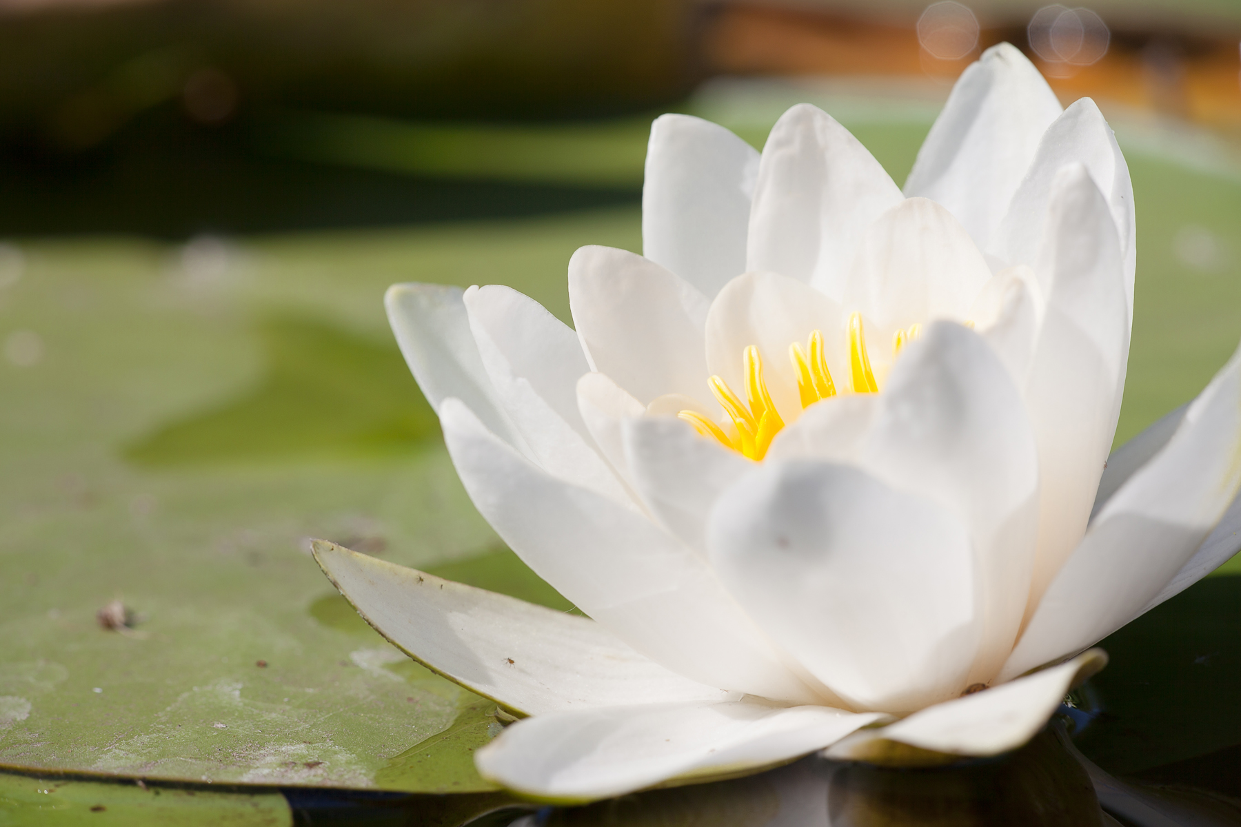 Free Photo Lily Flower Summer Outdoor Pond Free Download Jooinn