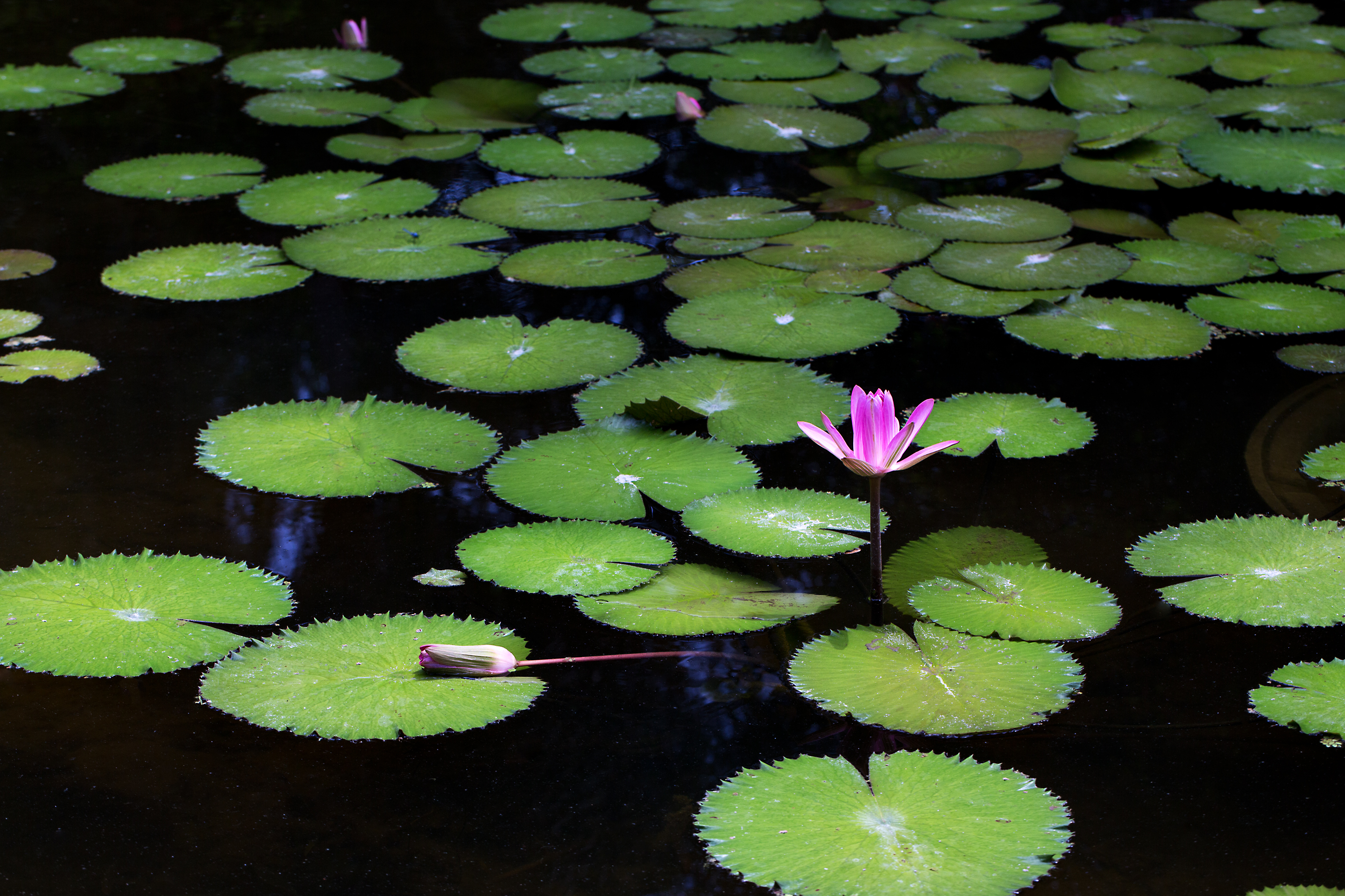 64 best Water Lilies Lily Pads images on Pinterest Beautiful Photos of lily pads