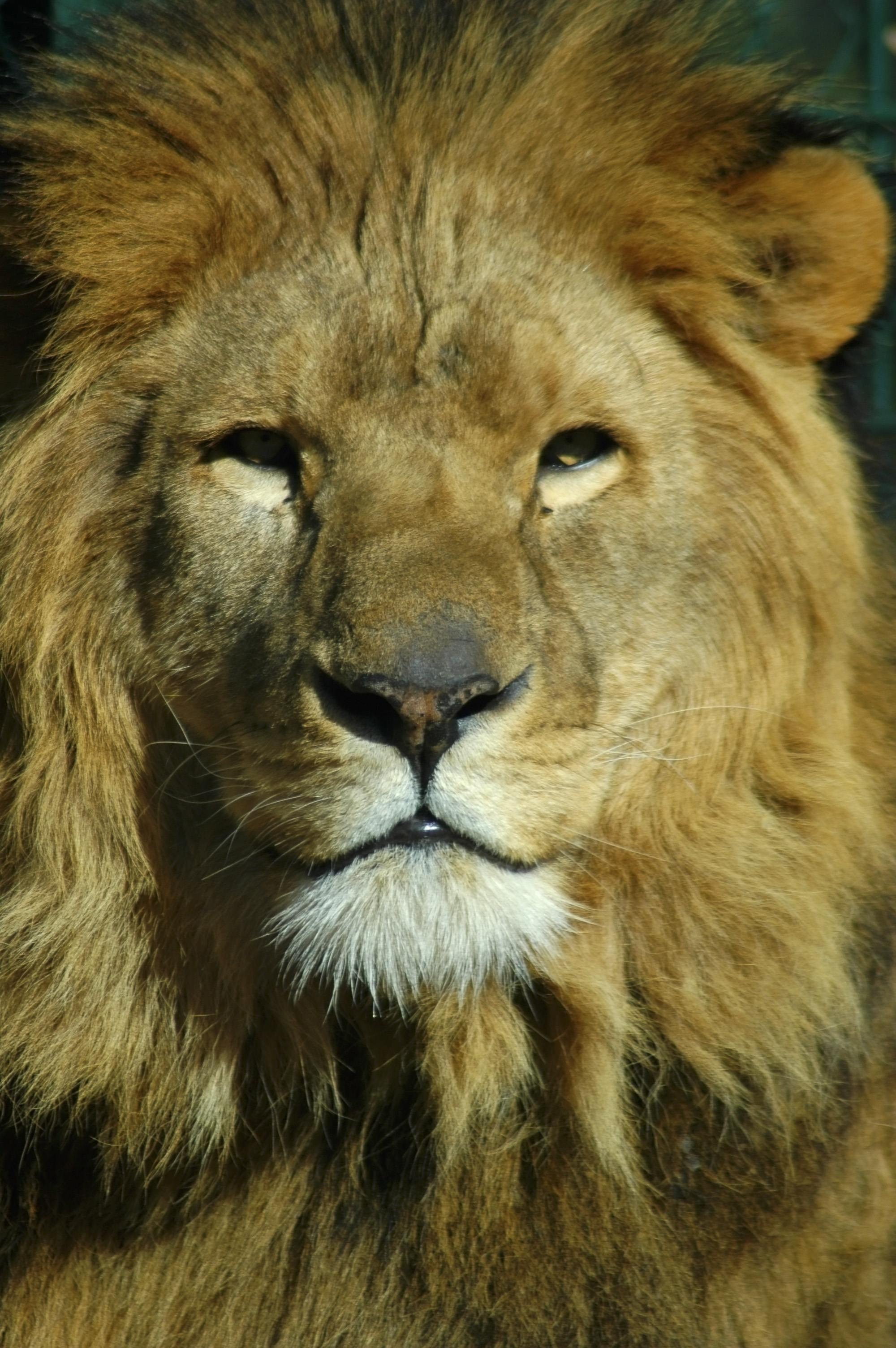 Lion, African, Animal, Carnivore, Cat, HQ Photo