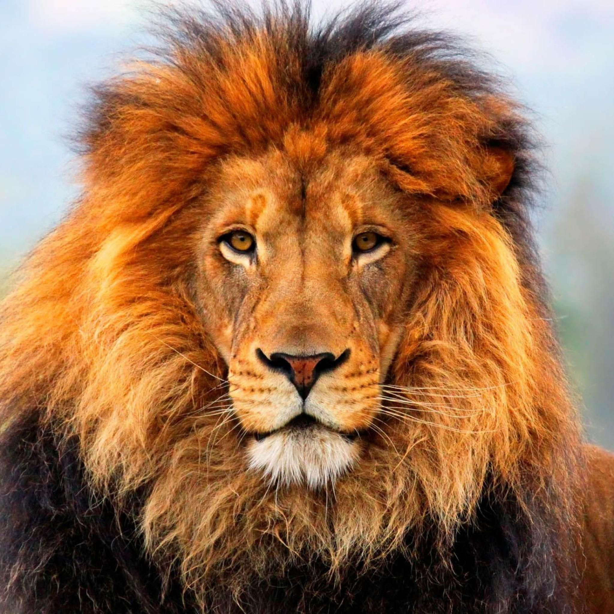 Lion | Crusaders, Lions and Zodiac