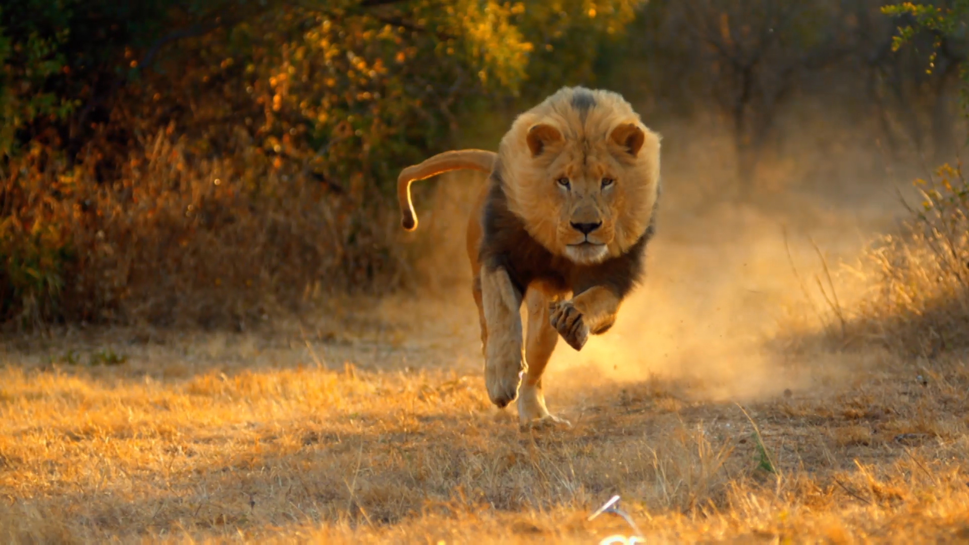 Fast Running Lions - Big Cat Week Video - National Geographic Channel