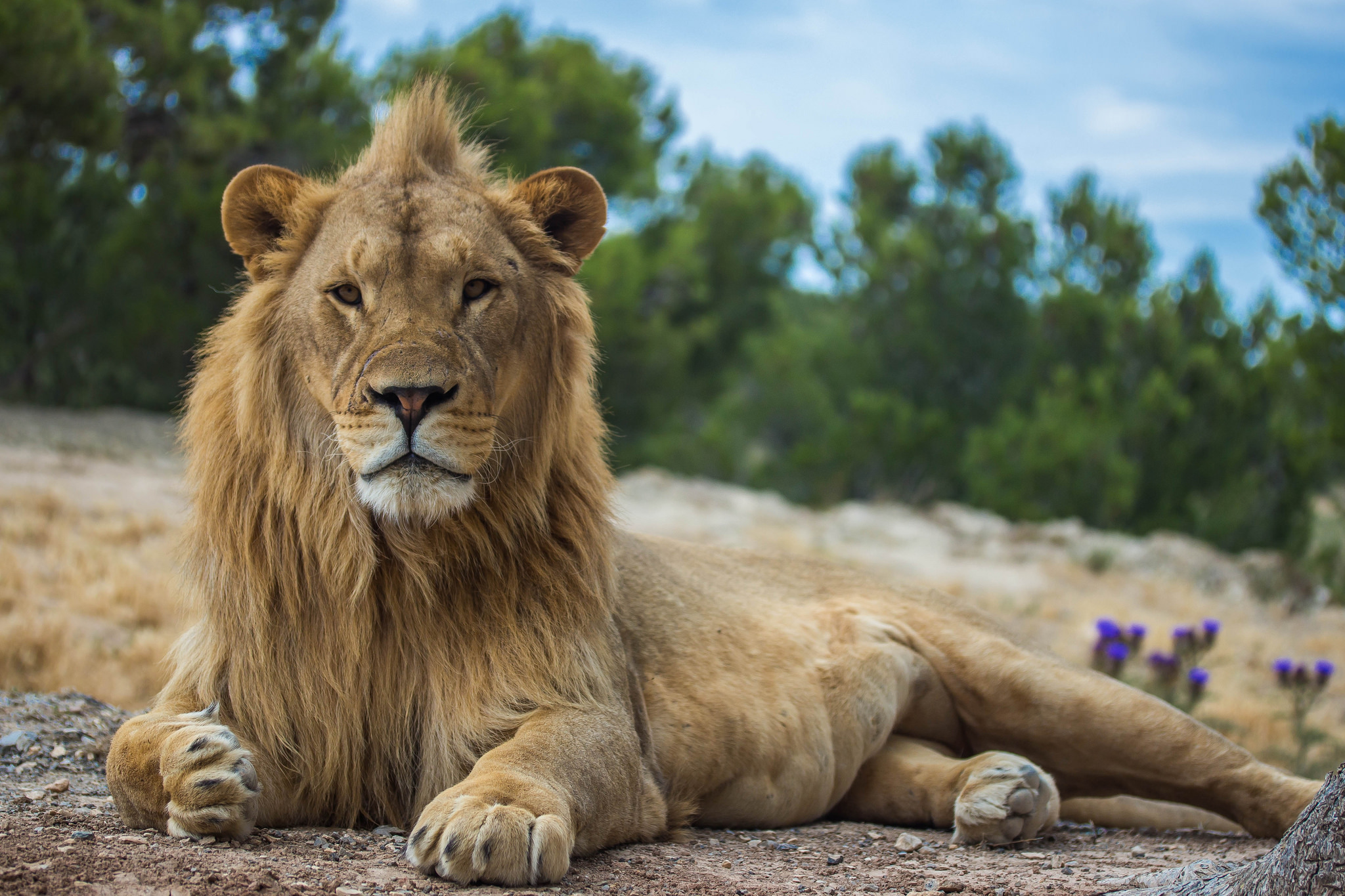 Lions - Big Cat Facts, Information & Habitat