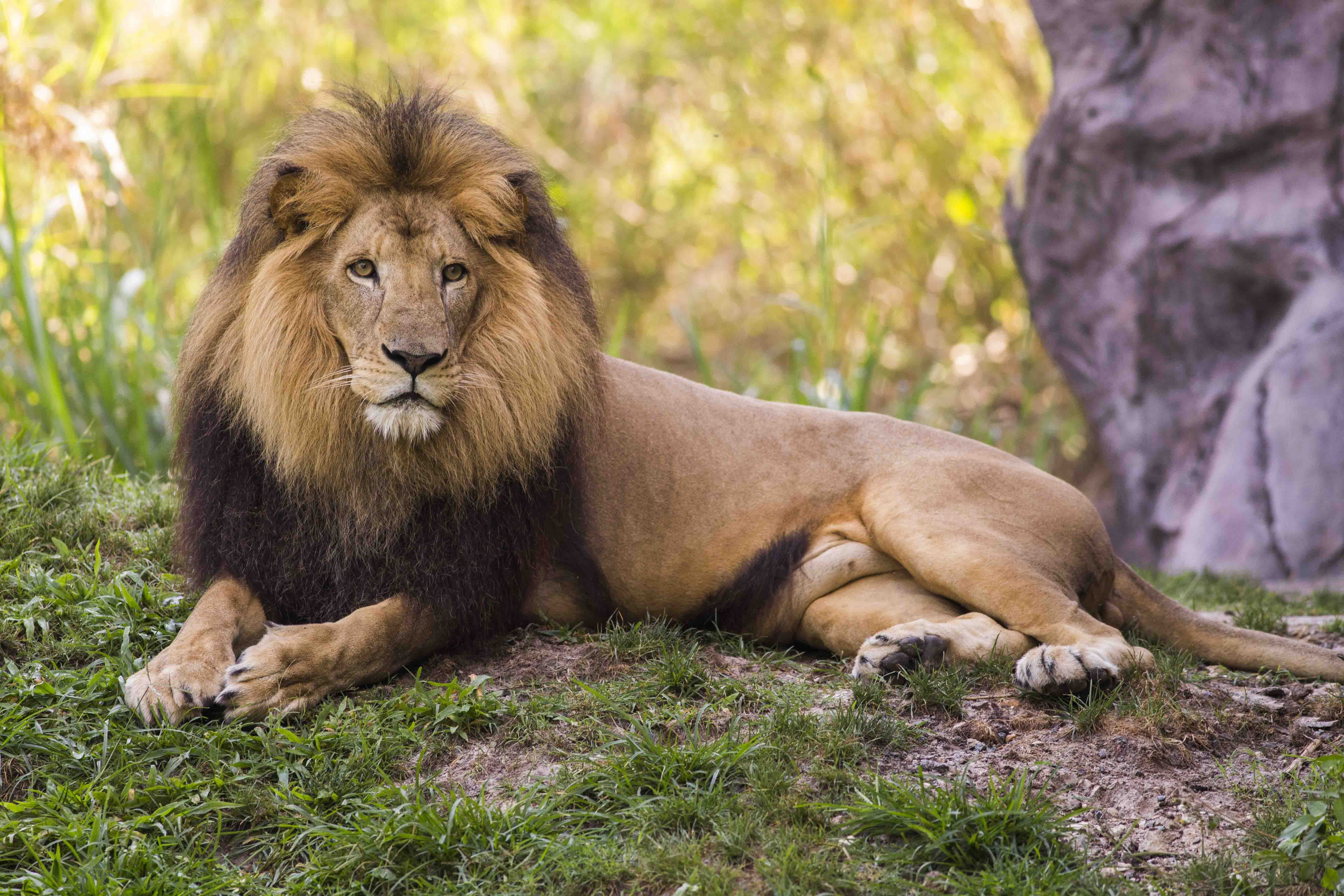 Free Photo Lion King Jungle Predator Free Download Jooinn