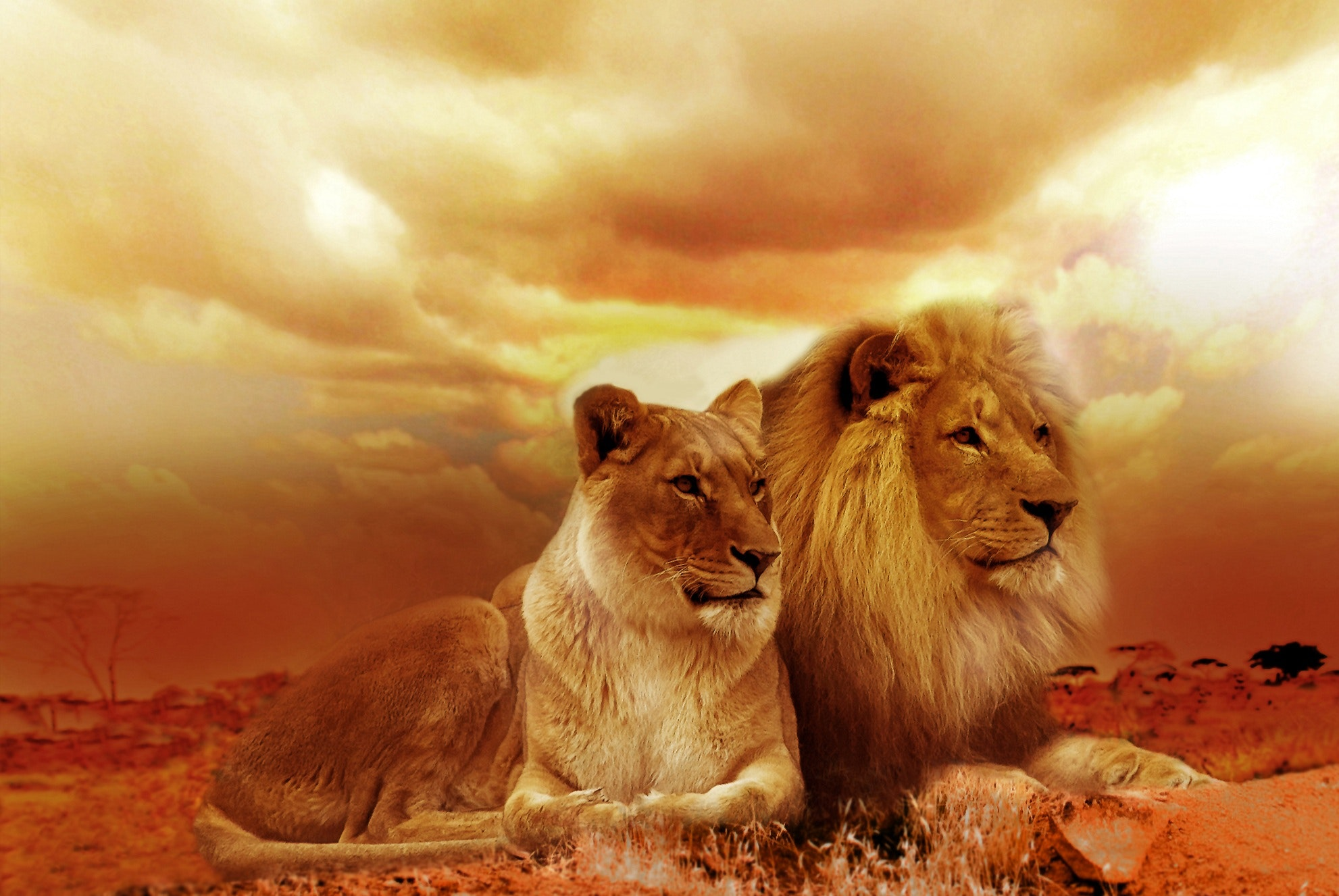 Lion and Lioness Under White Sky during Sunset, Safari, Sunset, Wildlife, Outback, HQ Photo