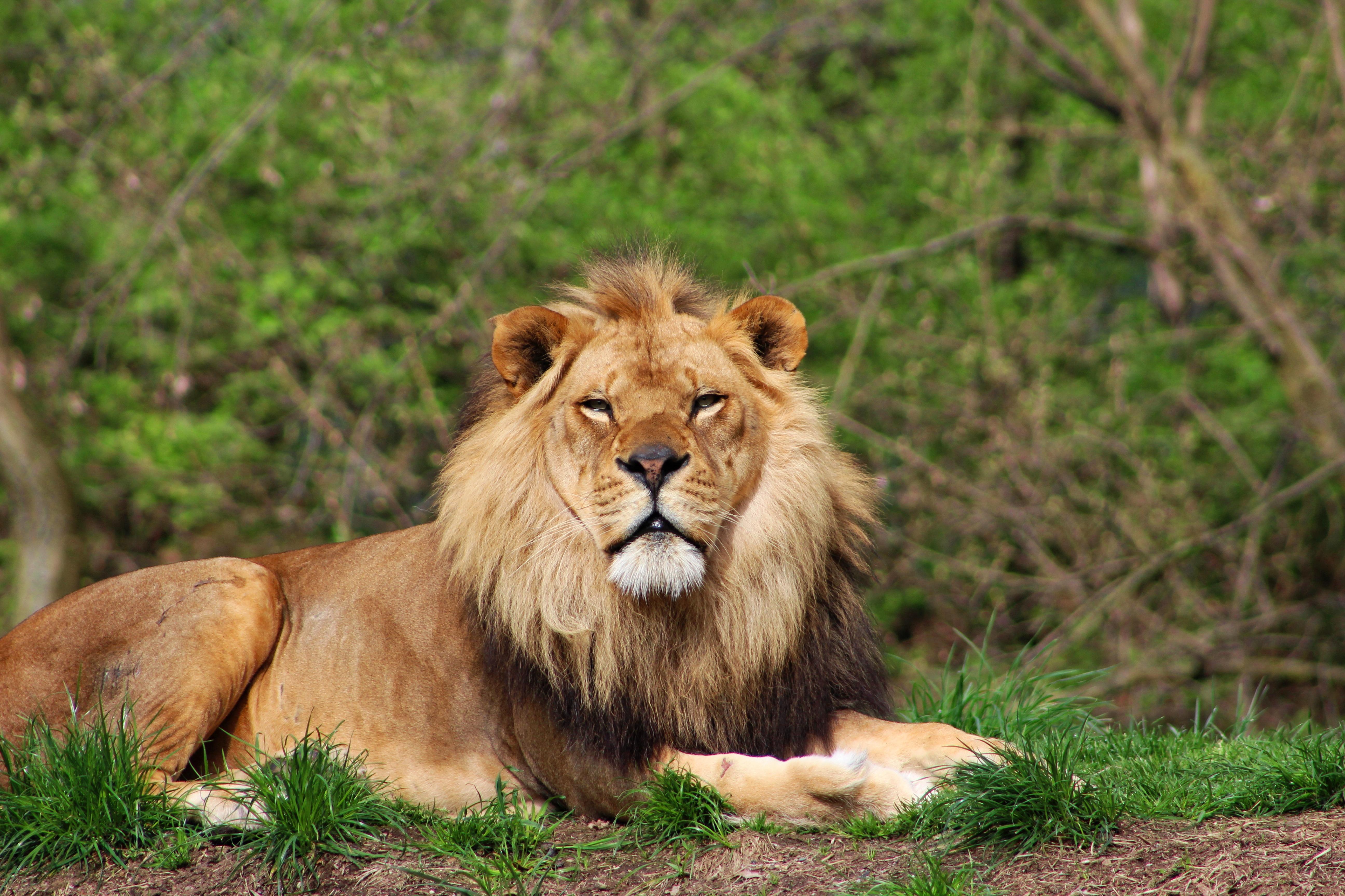 Lion at rest photo