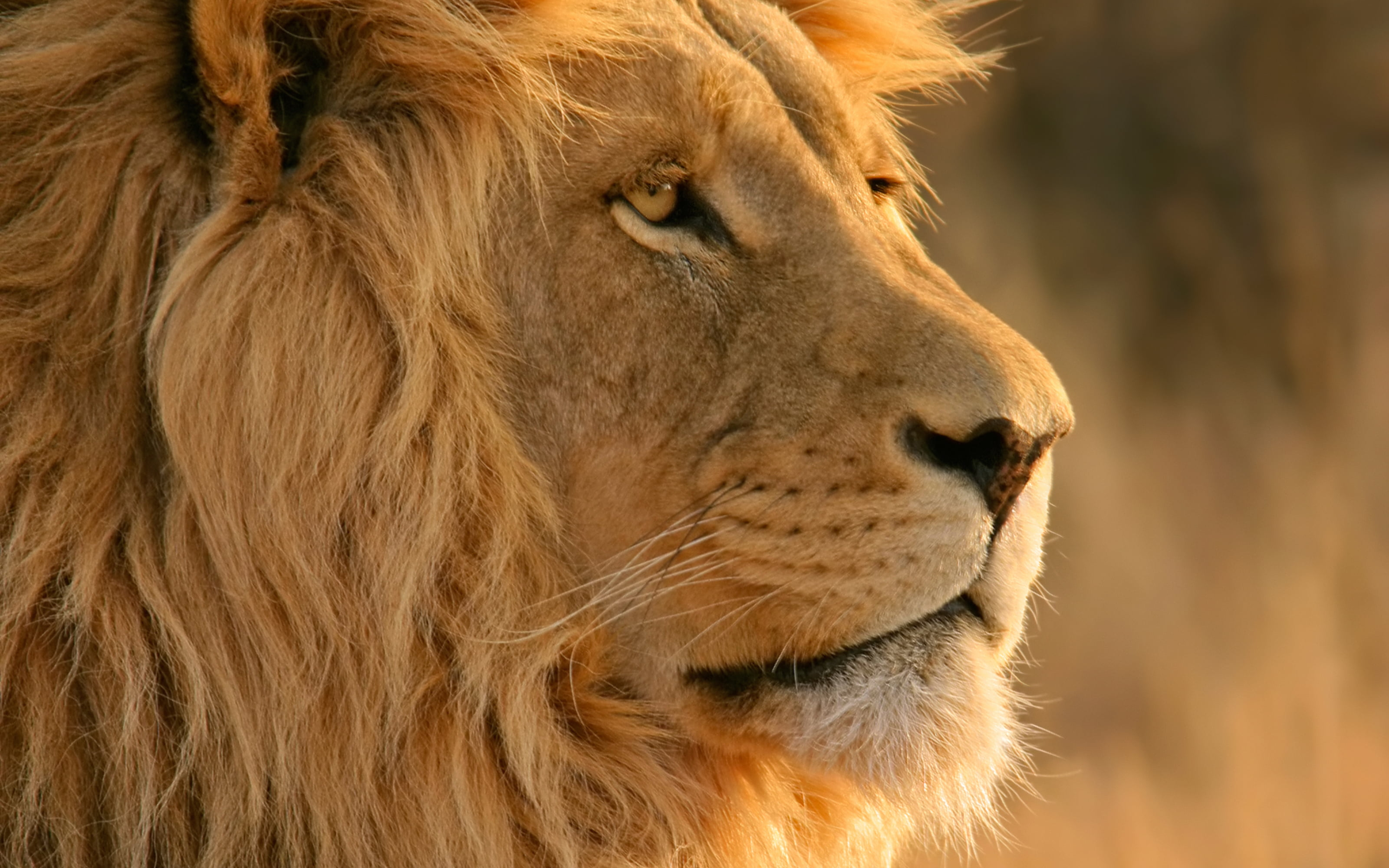 Close up photo of adult lion HD wallpaper | Wallpaper Flare