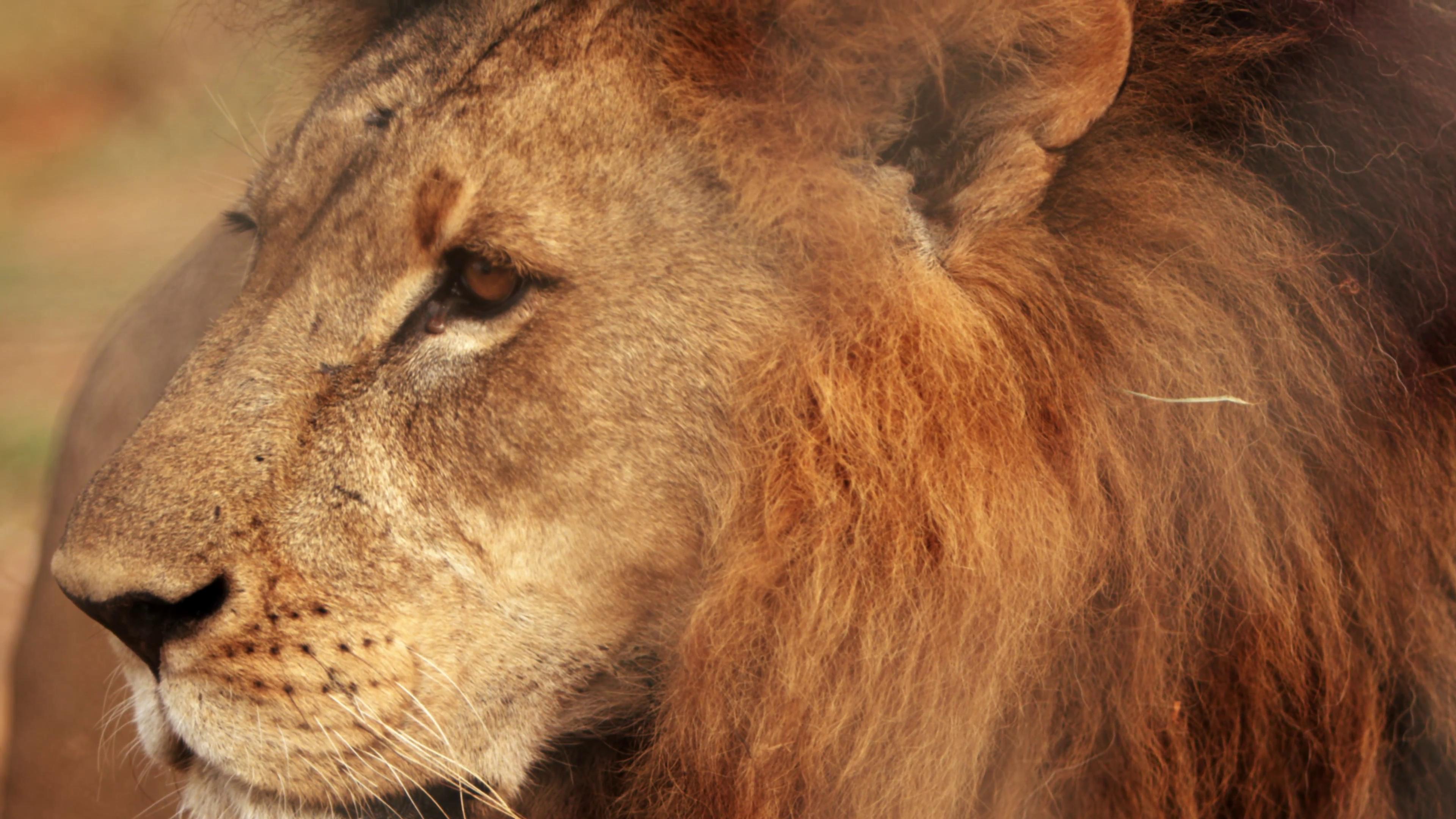 Close up of male lion standing still Stock Video Footage - VideoBlocks