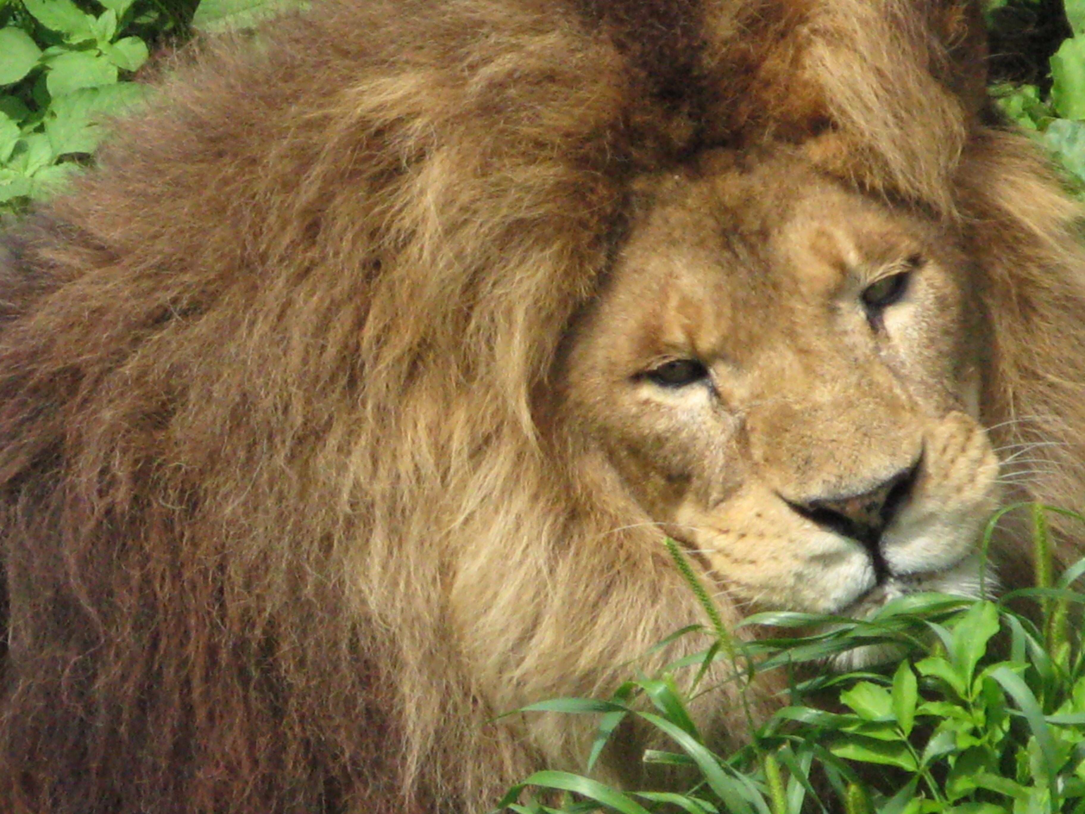 Lion Closeup, Animal, Close, Closeup, Fierce, HQ Photo