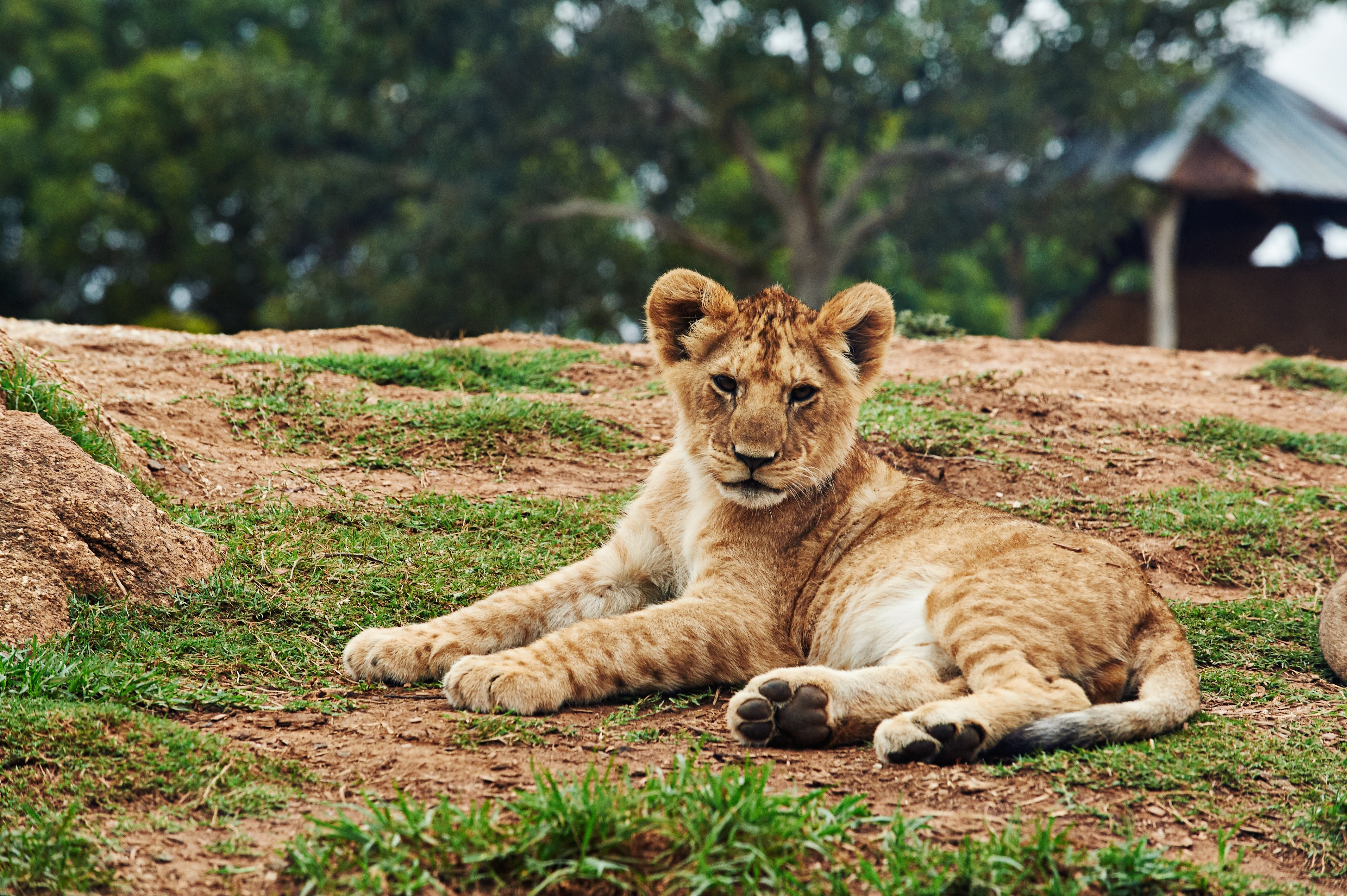 Lion cub lying on ground photo
