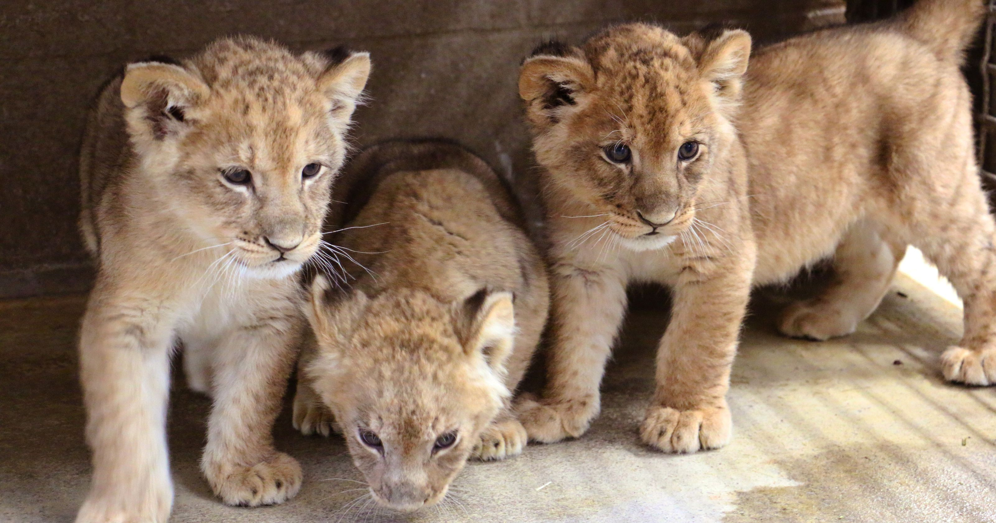 Lion cubs born at Blank Park Zoo named