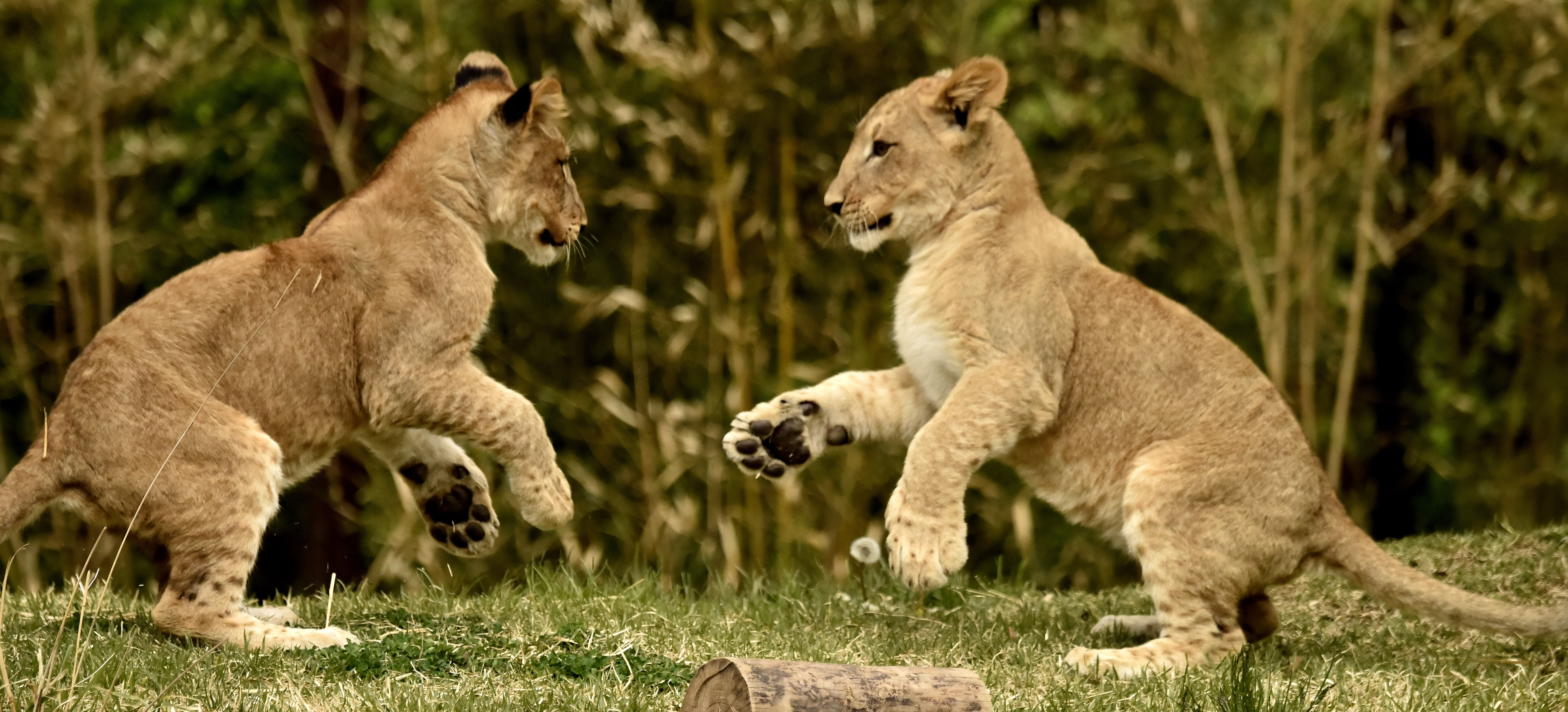 Lion cubs photo
