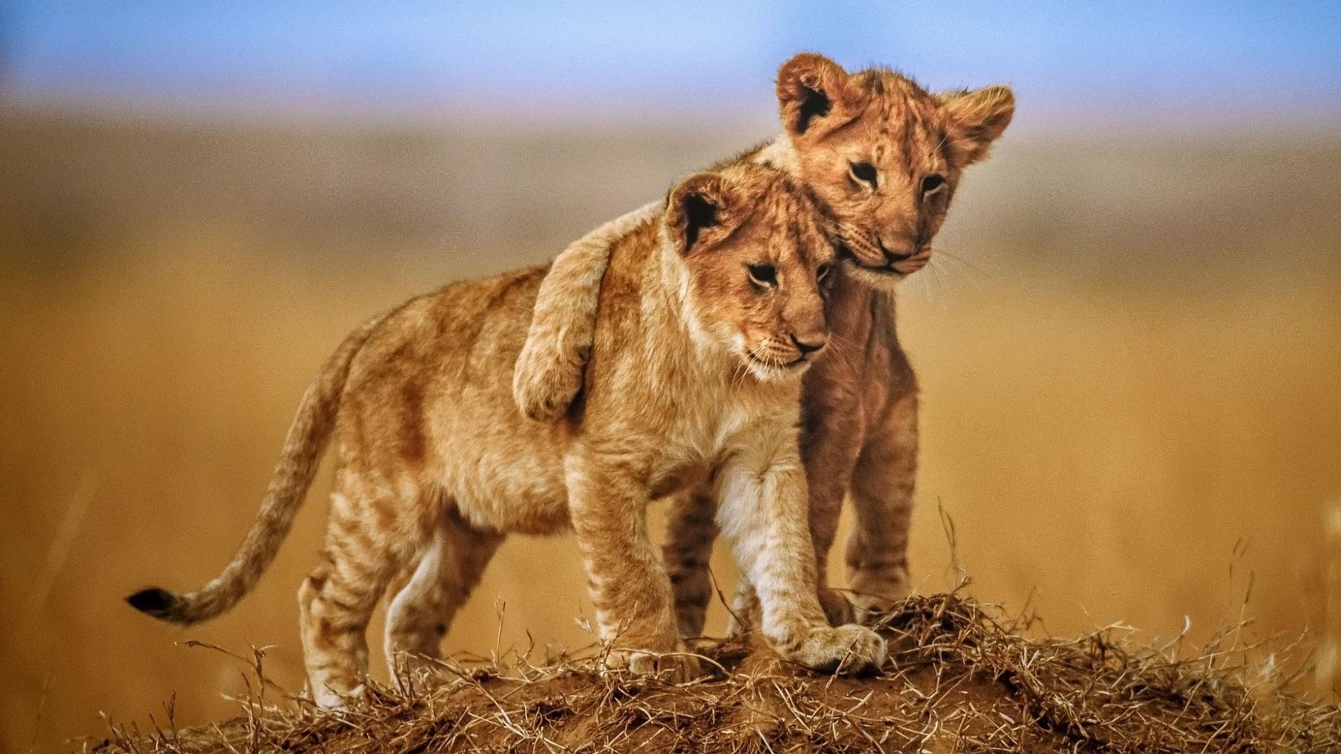 Cute Lion Cubs Wallpaper | Wallpaper Studio 10 | Tens of thousands ...