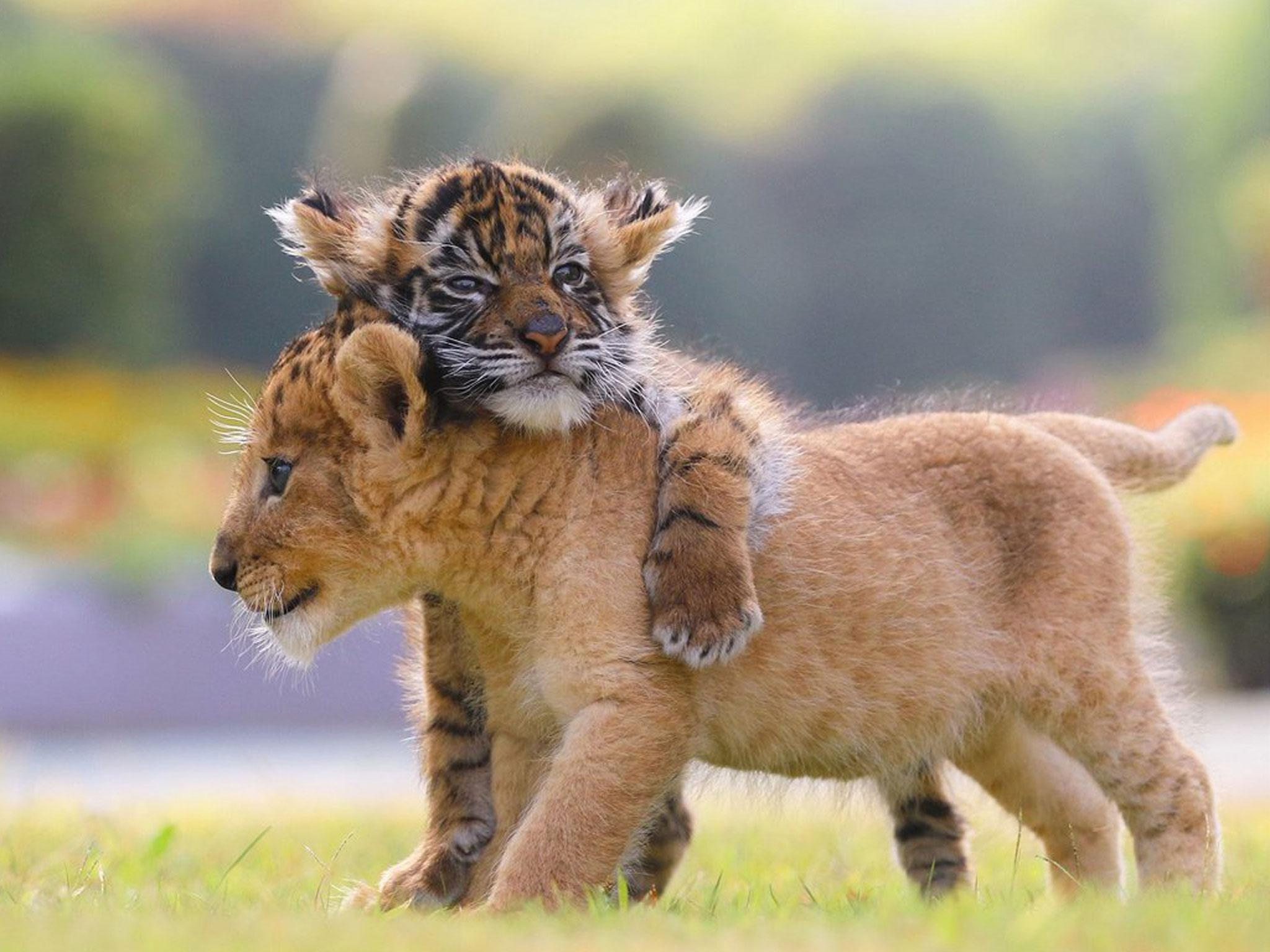 Cute lion and tiger cubs appear to be best friends in adorable ...
