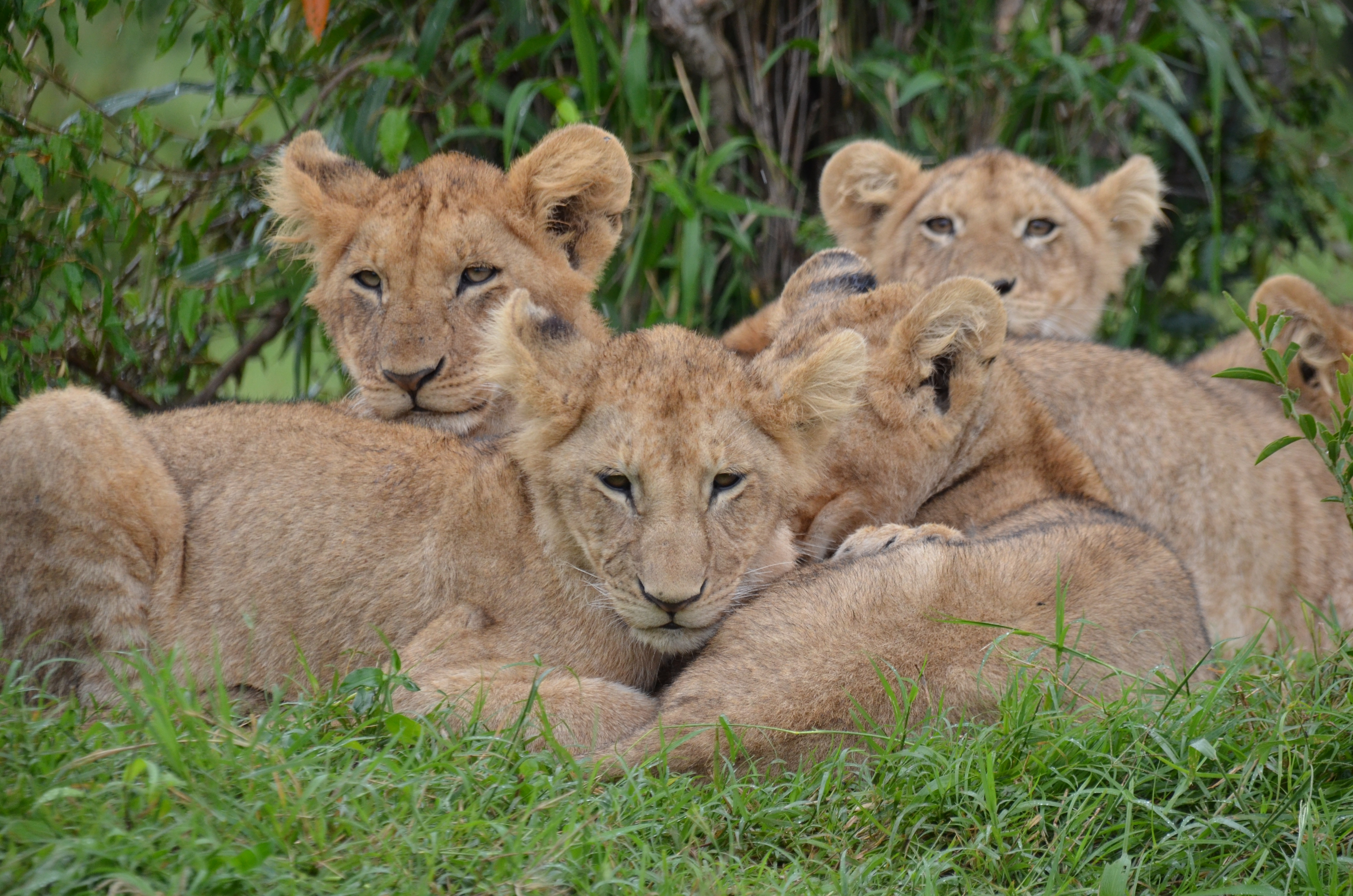 Lion Cubs, Animal, Brown, Cubs, Group, HQ Photo