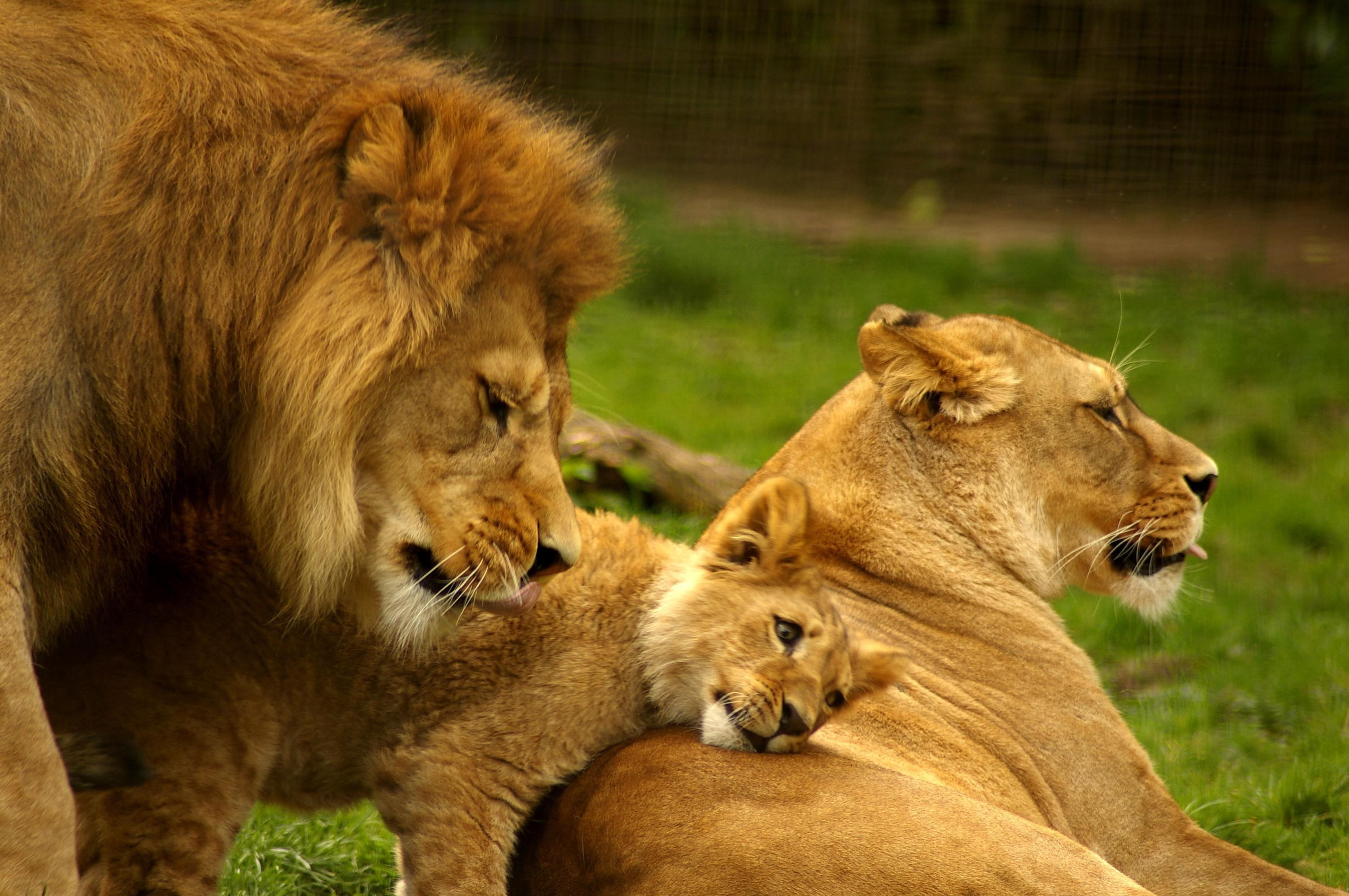 Lion family photo