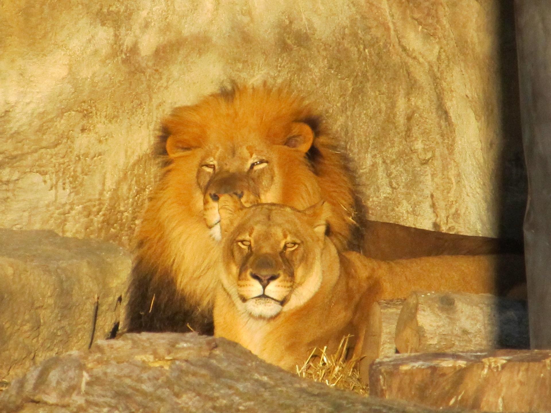 Lion Family, Animal, Family, Jungle, Lion, HQ Photo