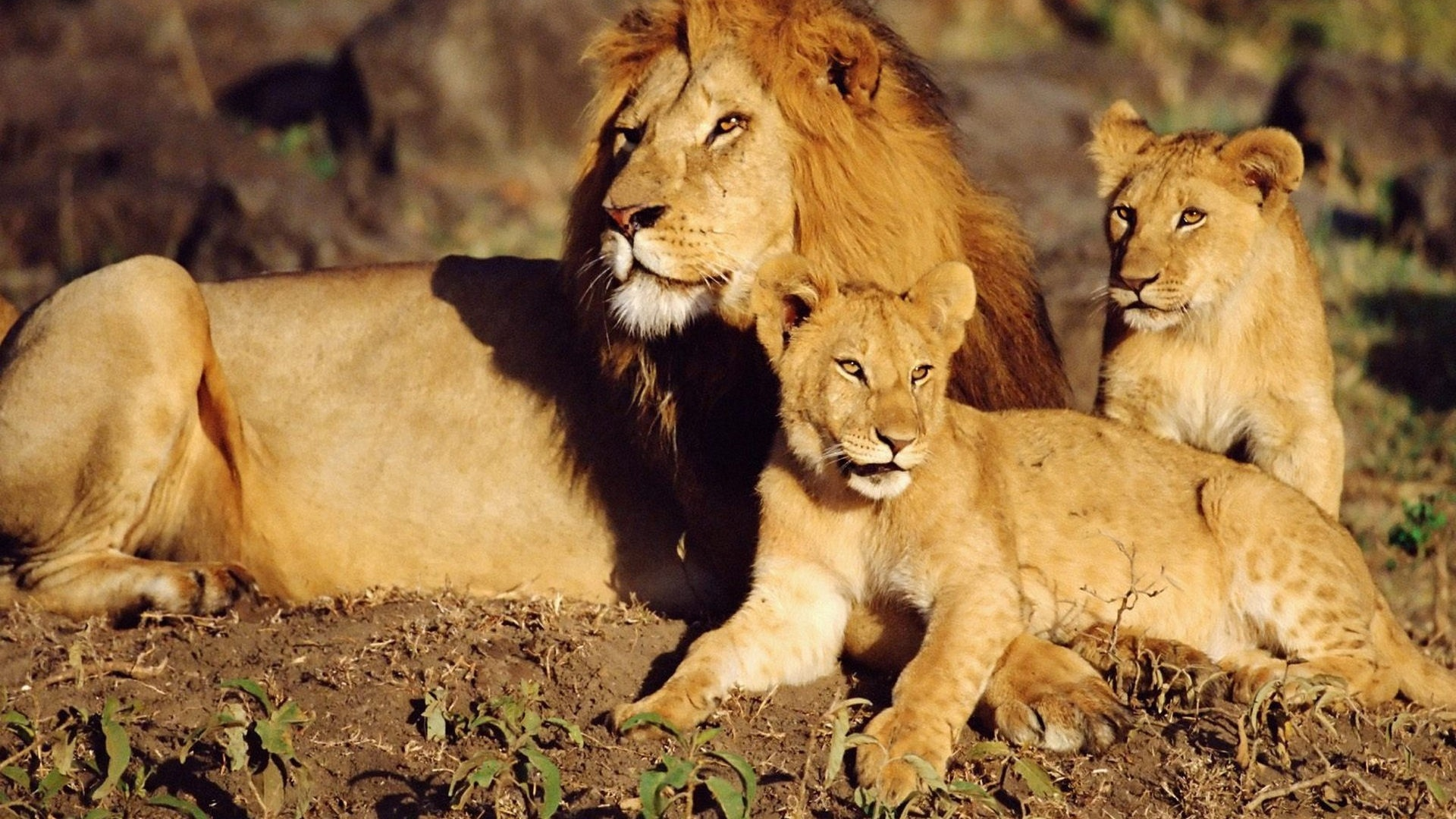 Lion Family Wallpaper HD 19422 - Baltana