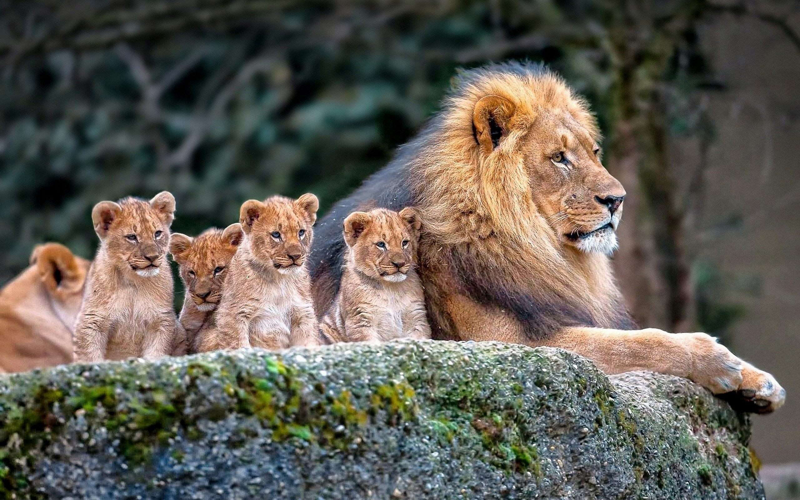 lion-family-baby-lions-hd-wallpaper : Lions