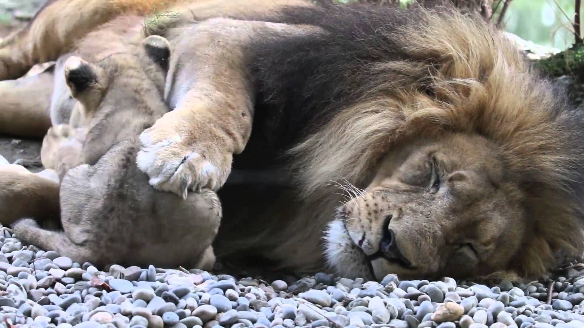 The African Lion Family - YouTube