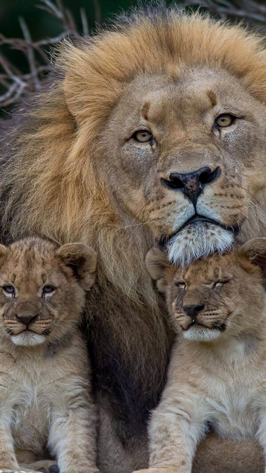 The Lion family ~ Lions are the only cats to hang out in large ...