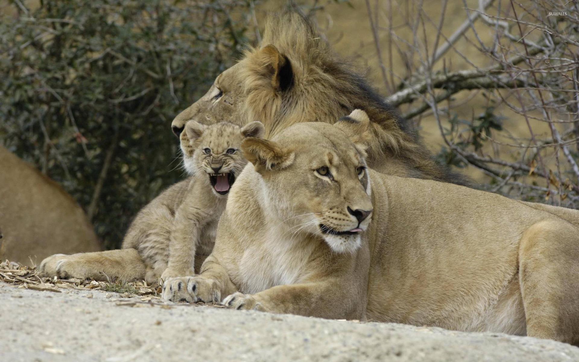 Lion family wallpaper - Animal wallpapers - #7784