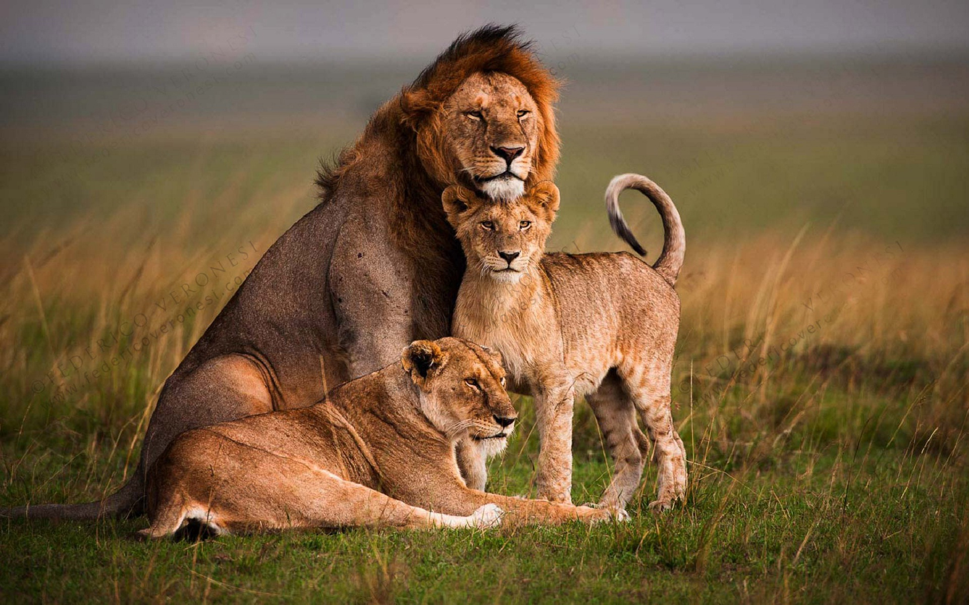Lion family in forest best latest animal photography | HD Wallpapers ...