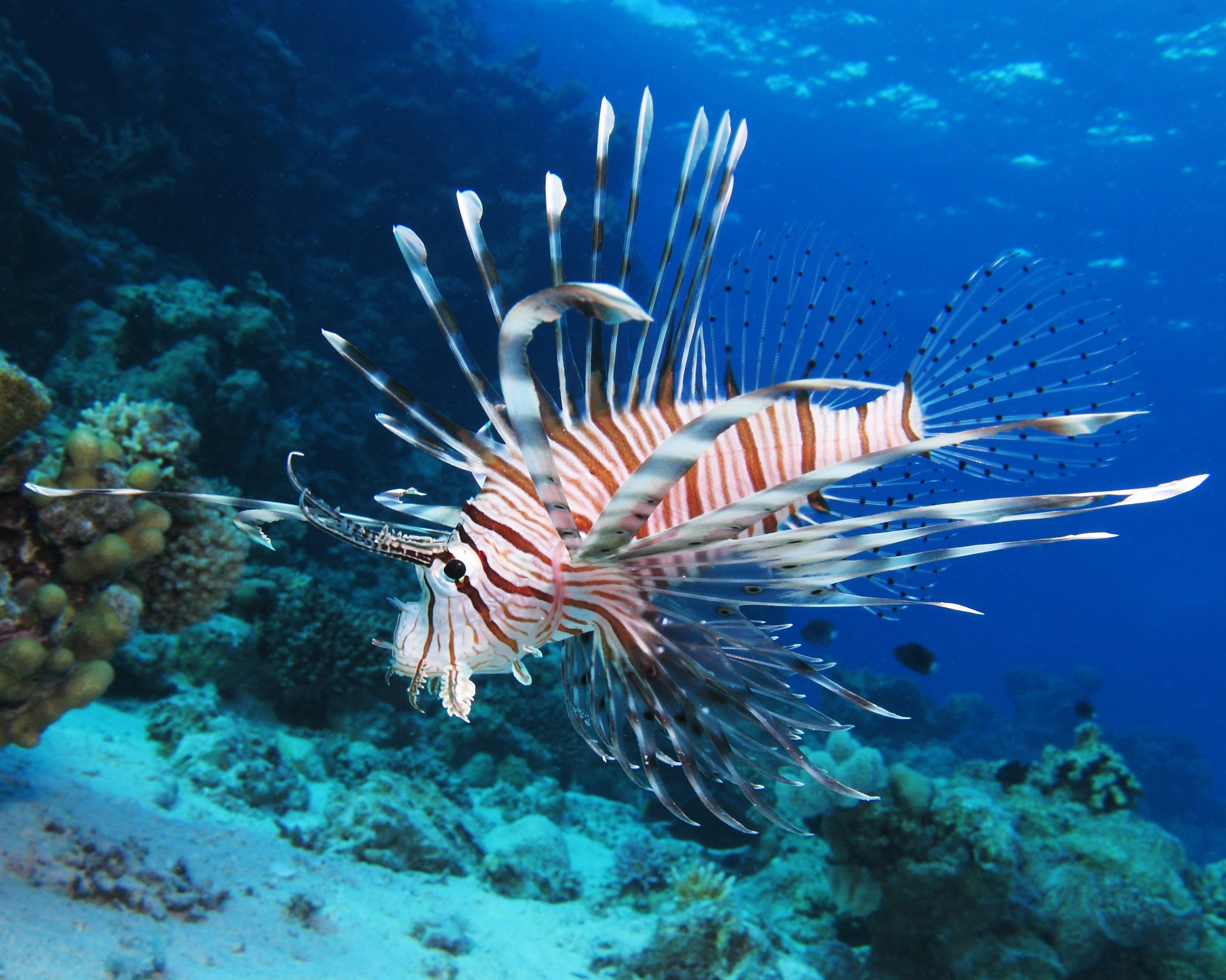 Lion fish serve as a great addition for large private aquariums ...