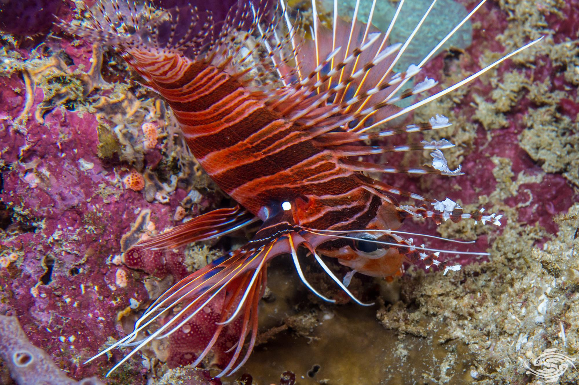 Spotfin Lionfish-Facts and Photographs - Seaunseen