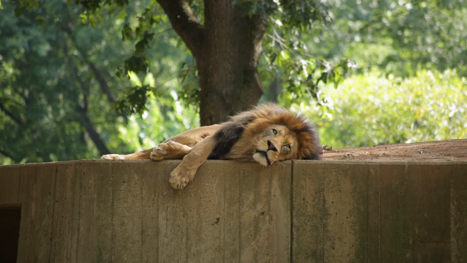 Lion lying down photo