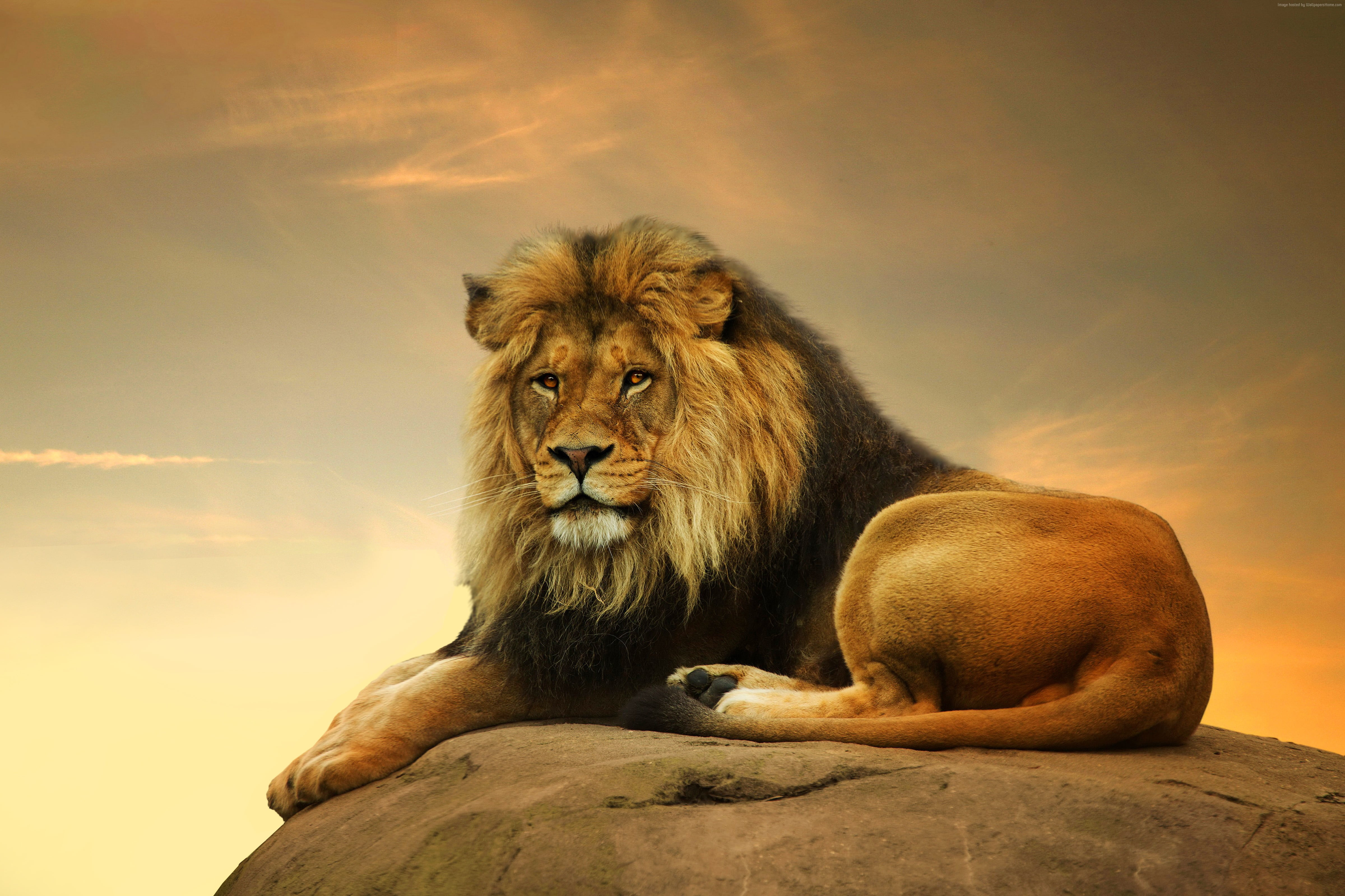 Brown lion lying down on rock during golden hour HD wallpaper ...
