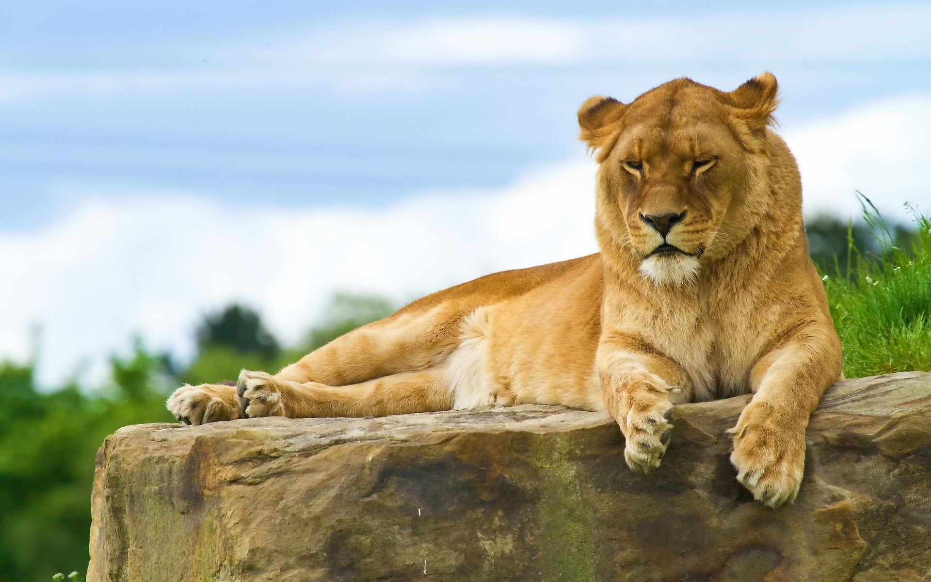 Brown lion lying on stone during daytime HD wallpaper | Wallpaper Flare