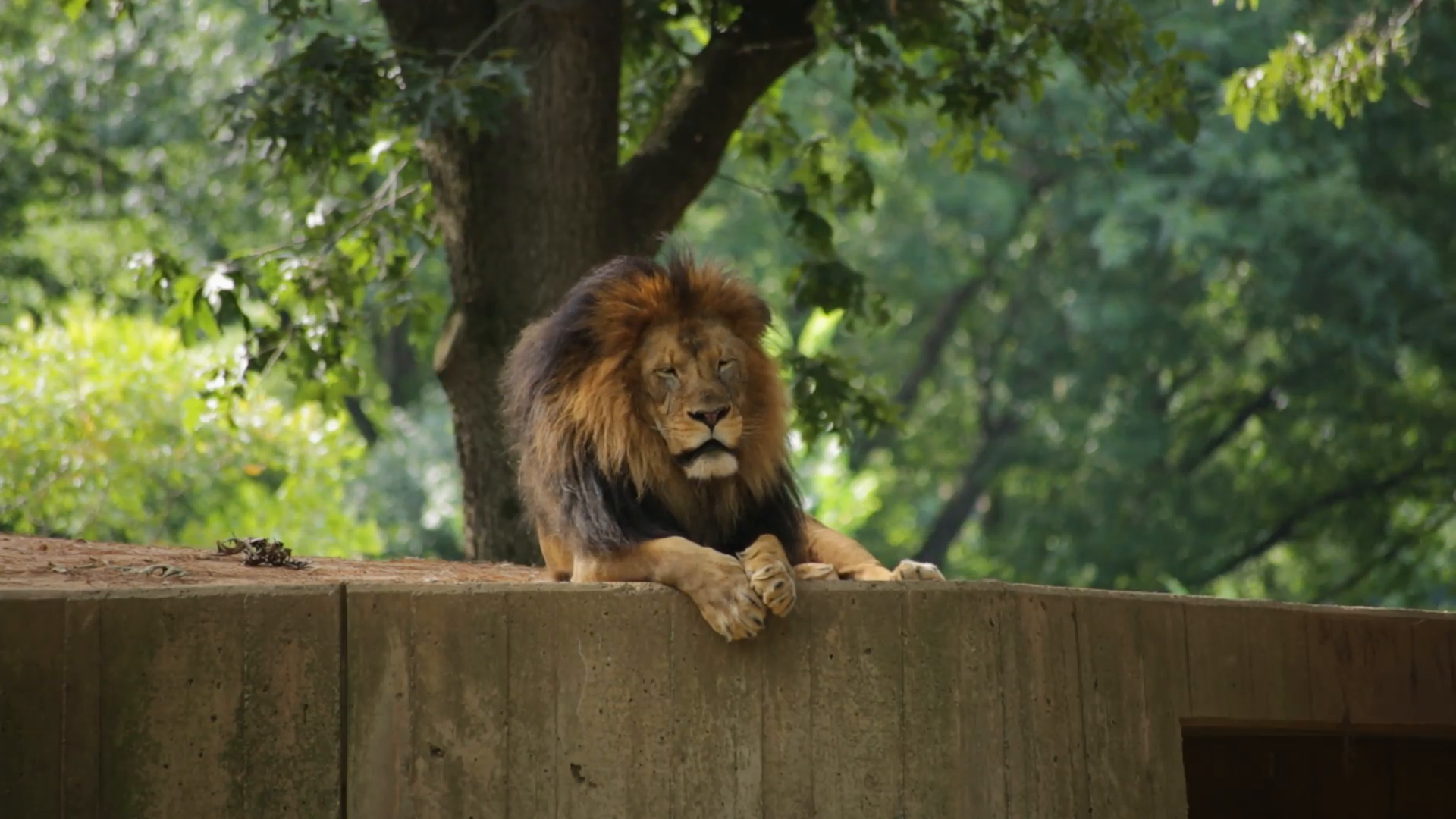 A lion lying down looks into the camera Stock Video Footage ...