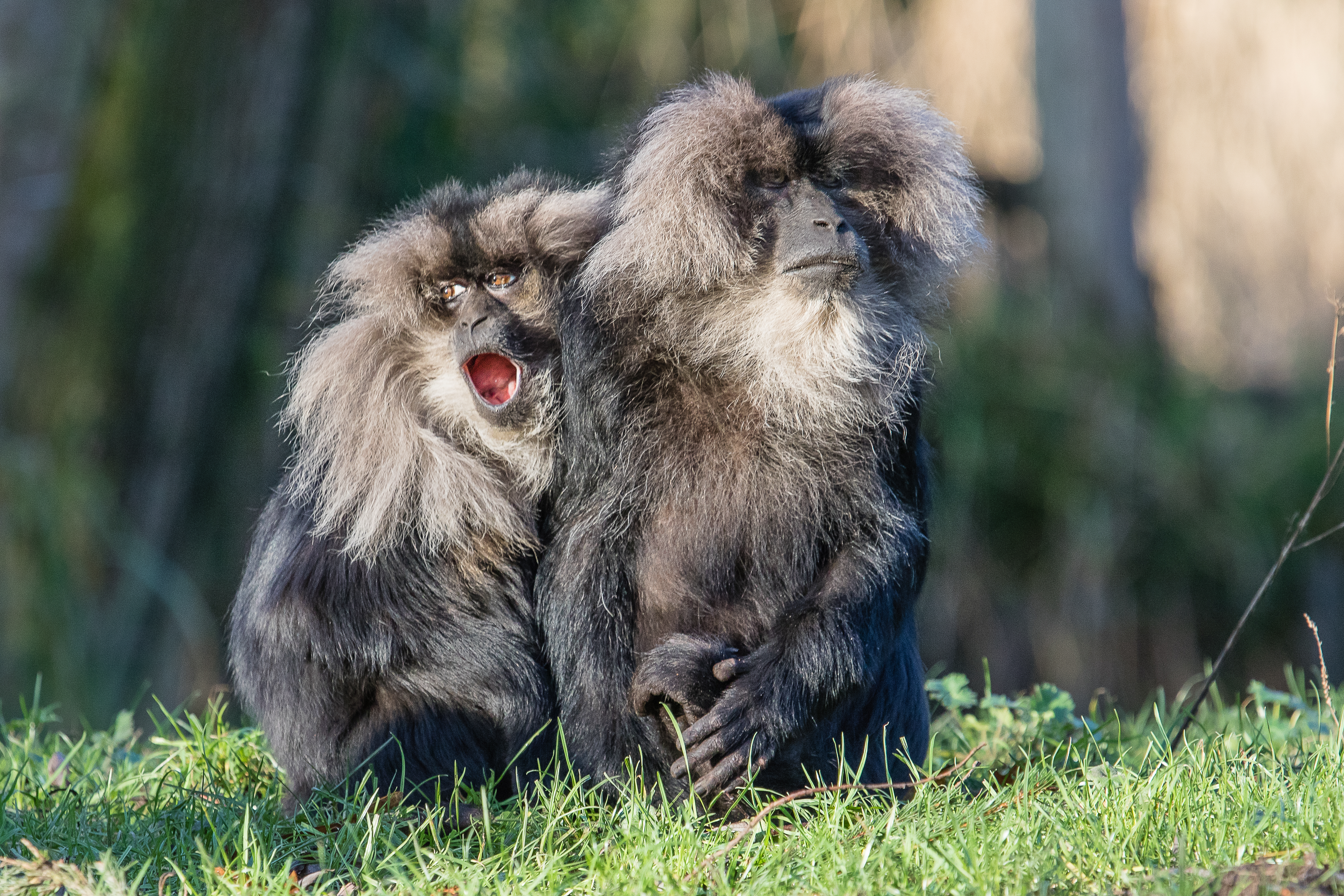 Lion-tailed macaque 2016-01-08-00052, Aap, Macaque, Zoogdieren, Wanderoe, HQ Photo