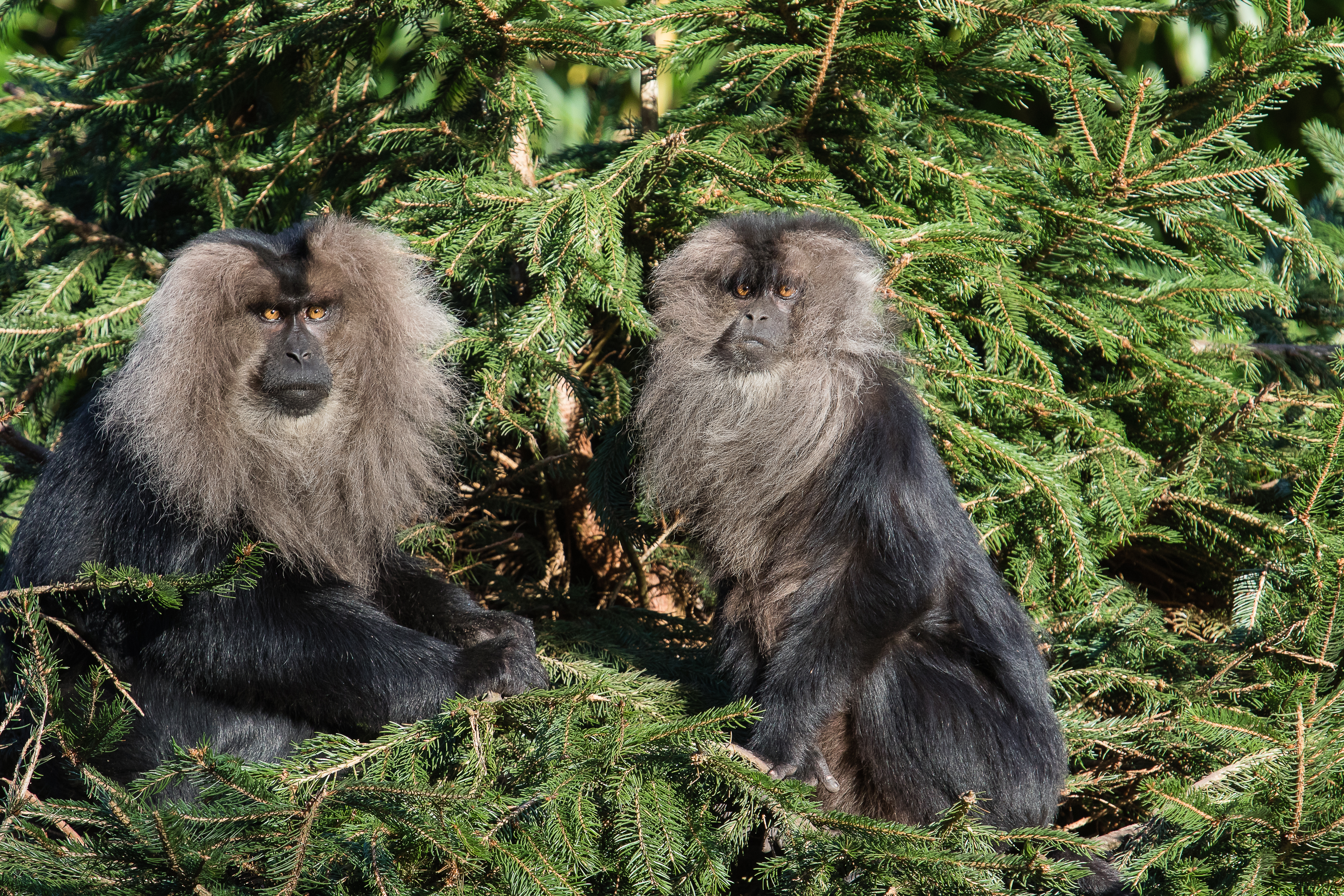 Lion-tailed macaque 2016-01-08-00115, Aap, Macaque, Zoogdieren, Wanderoe, HQ Photo