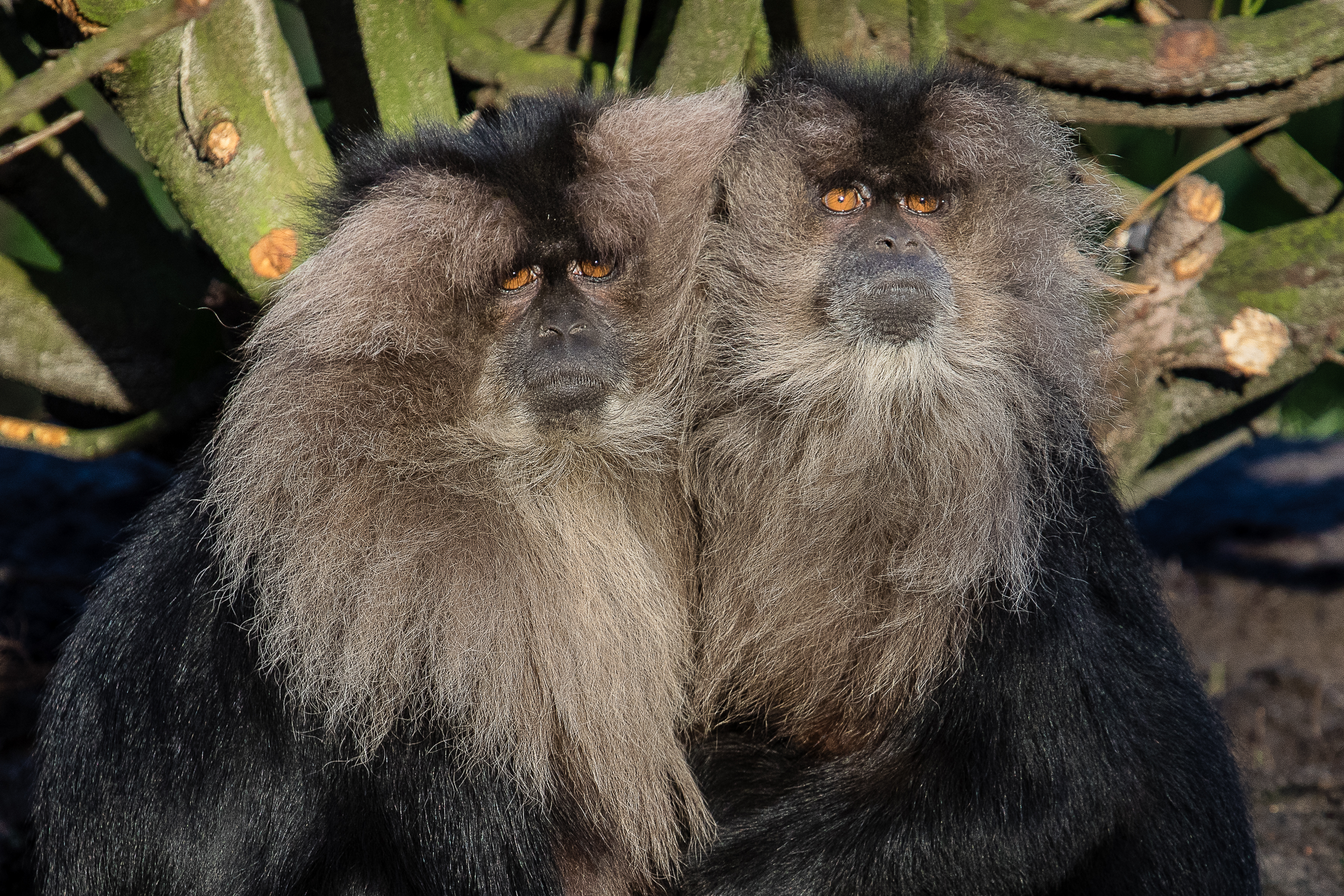 Lion-tailed macaque 2016-01-08-00542 photo