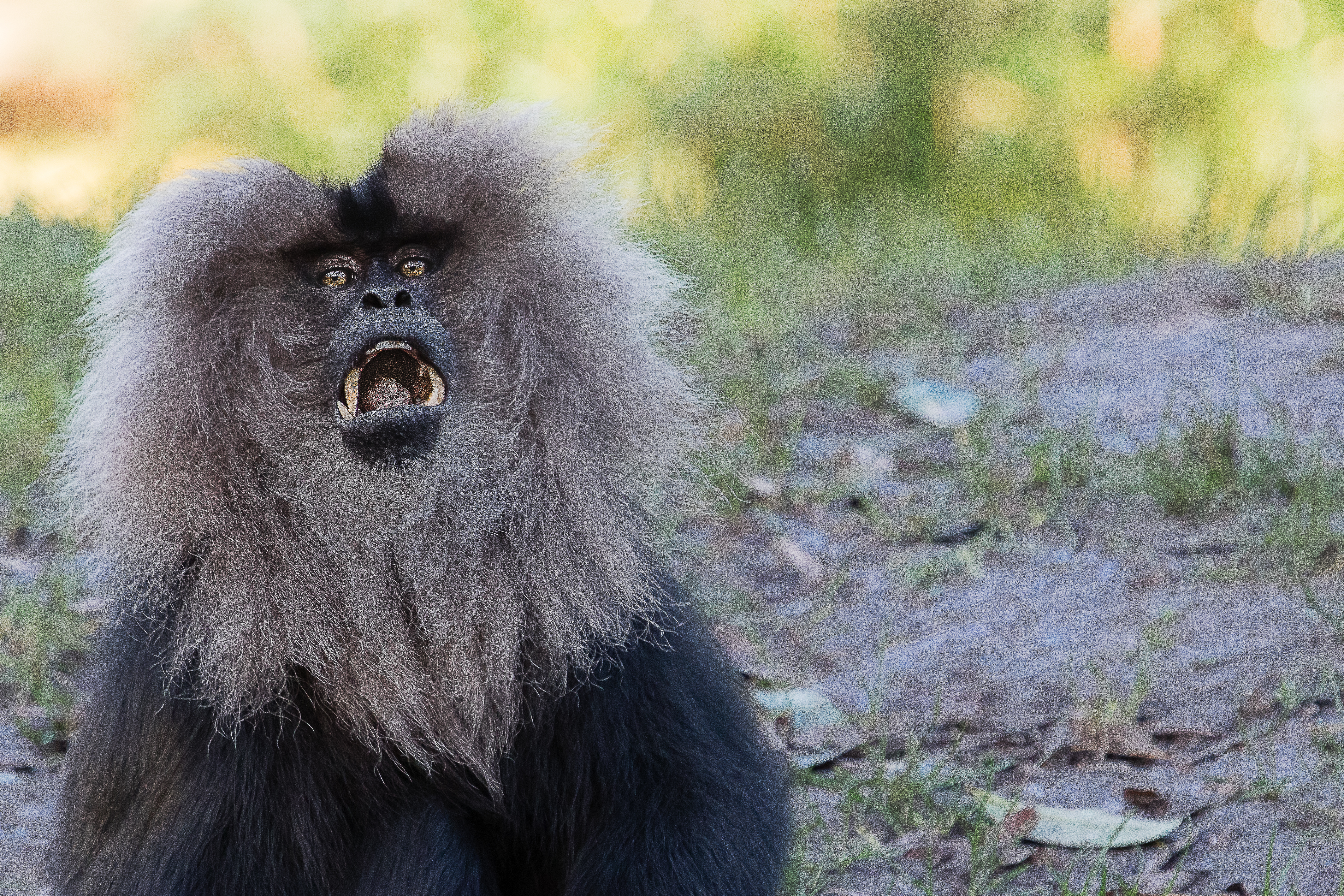 Lion-tailed macaque 2016-01-08-00645 photo