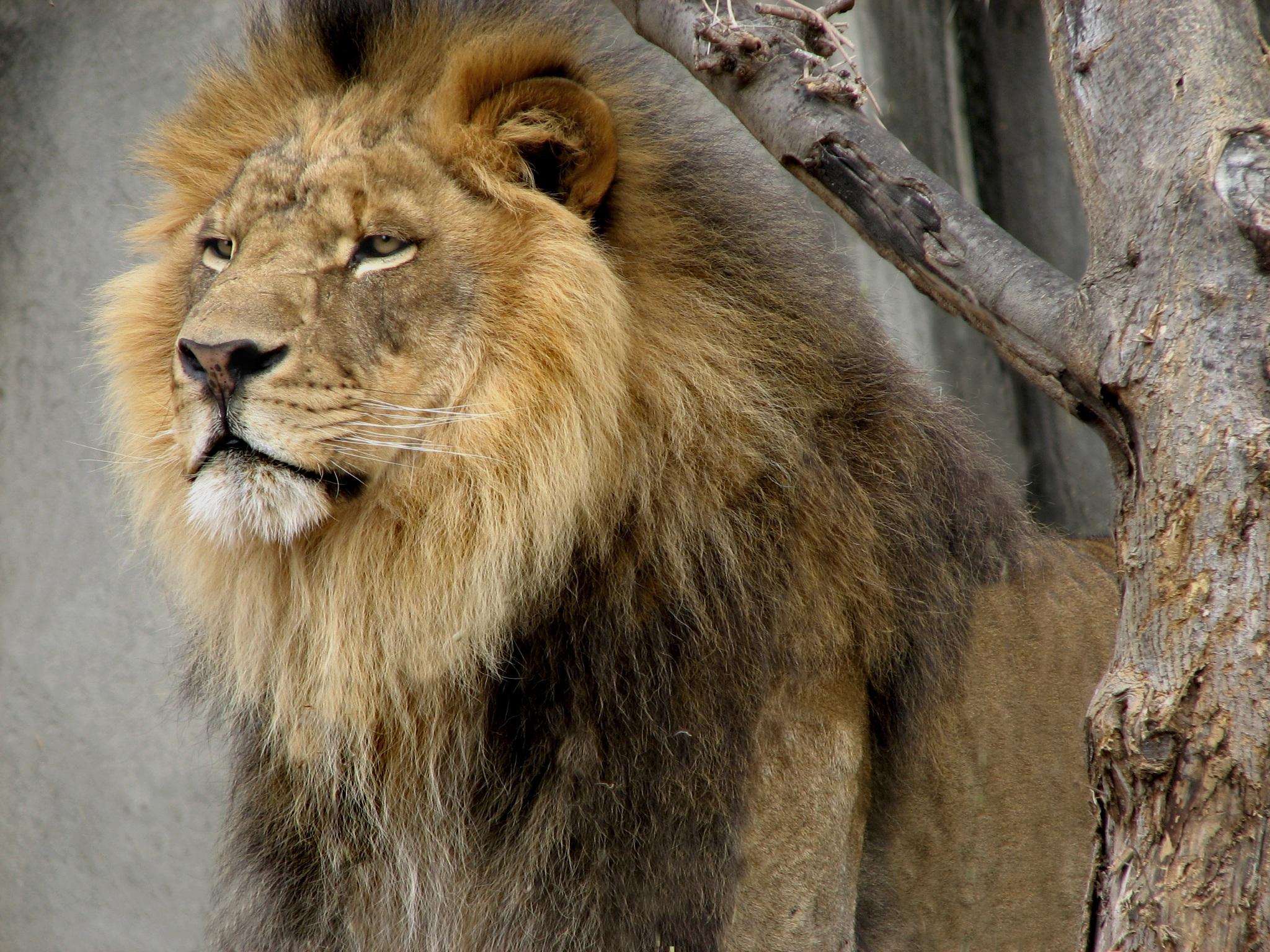 Lion with  beard photo