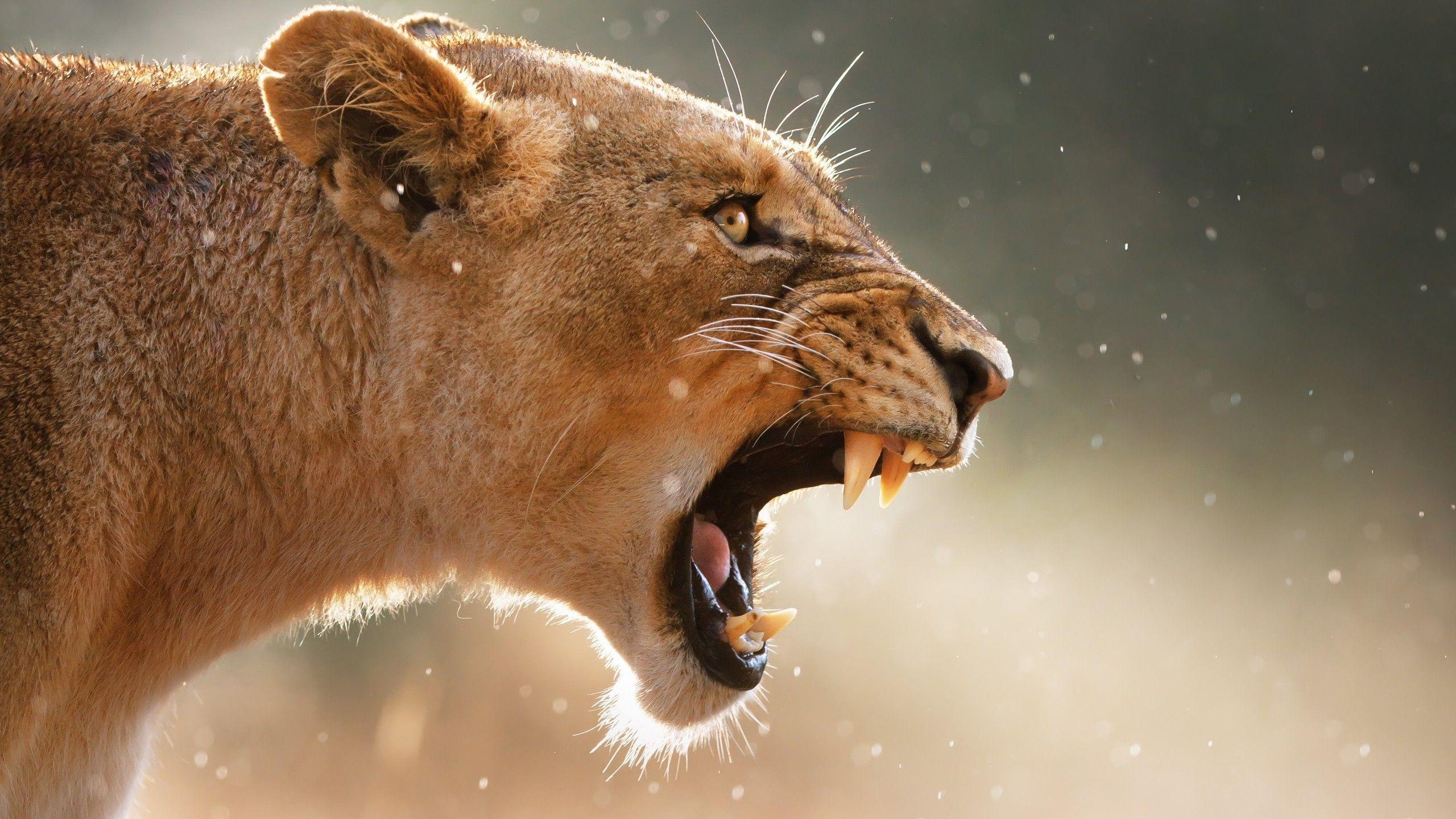Lioness Wallpapers - Wallpaper Cave