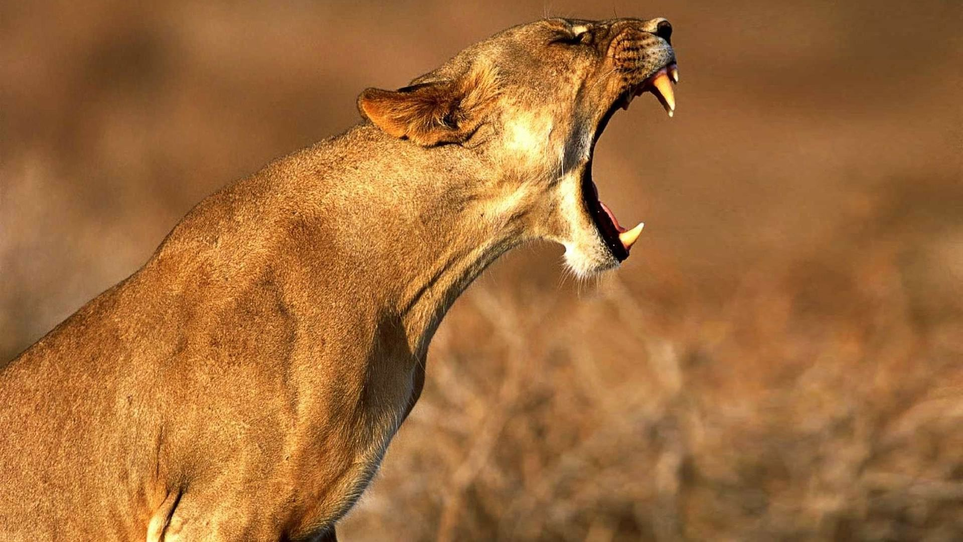 Lioness Symbolism – Whispers, Channels, Prophecies & Visions