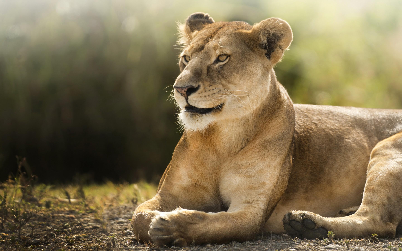 Wallpaper Lioness, African lion, Wild, 4K, Animals, #11746