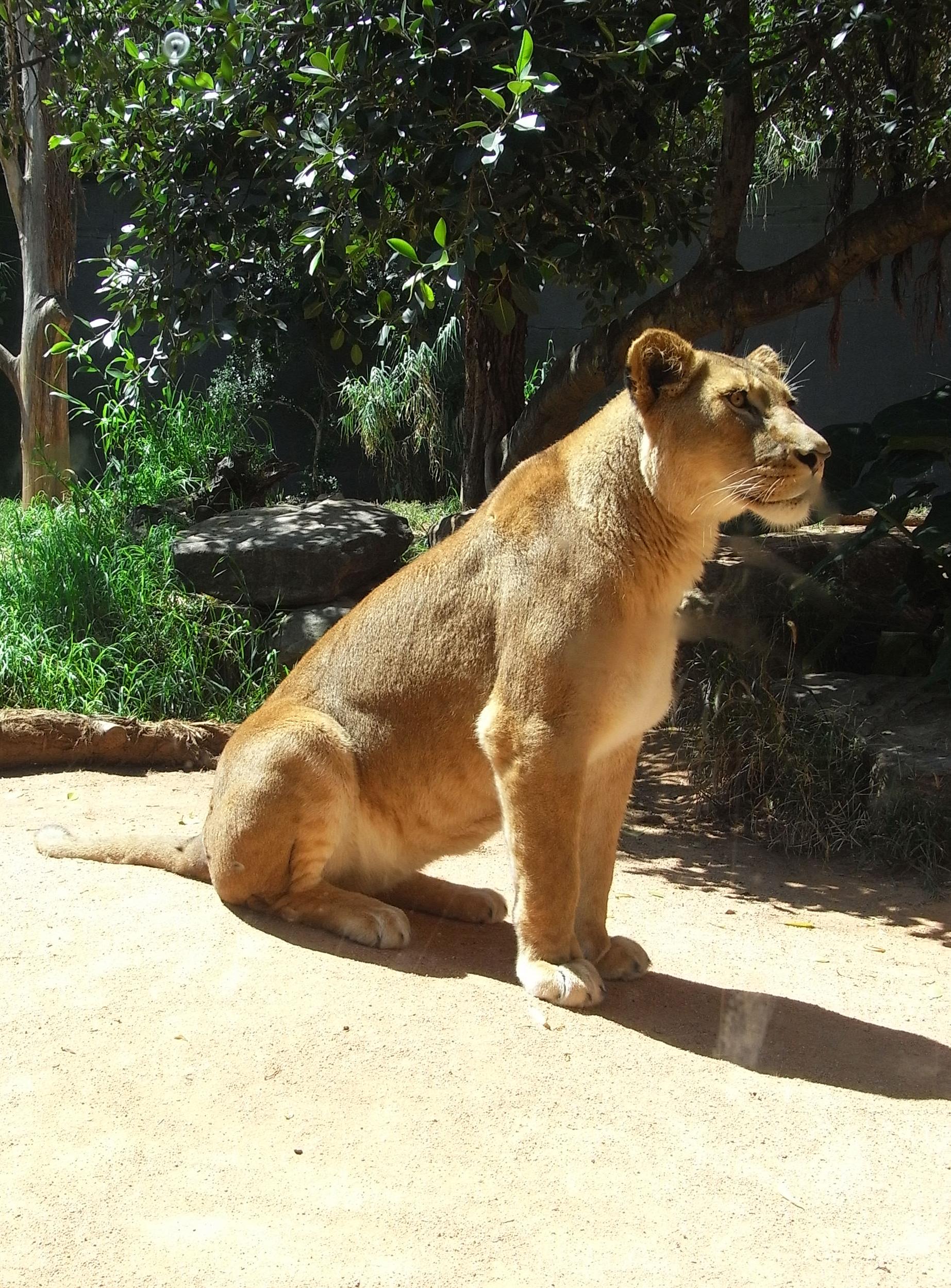 Lioness, Big, Carnivore, Cat, Dangerous, HQ Photo