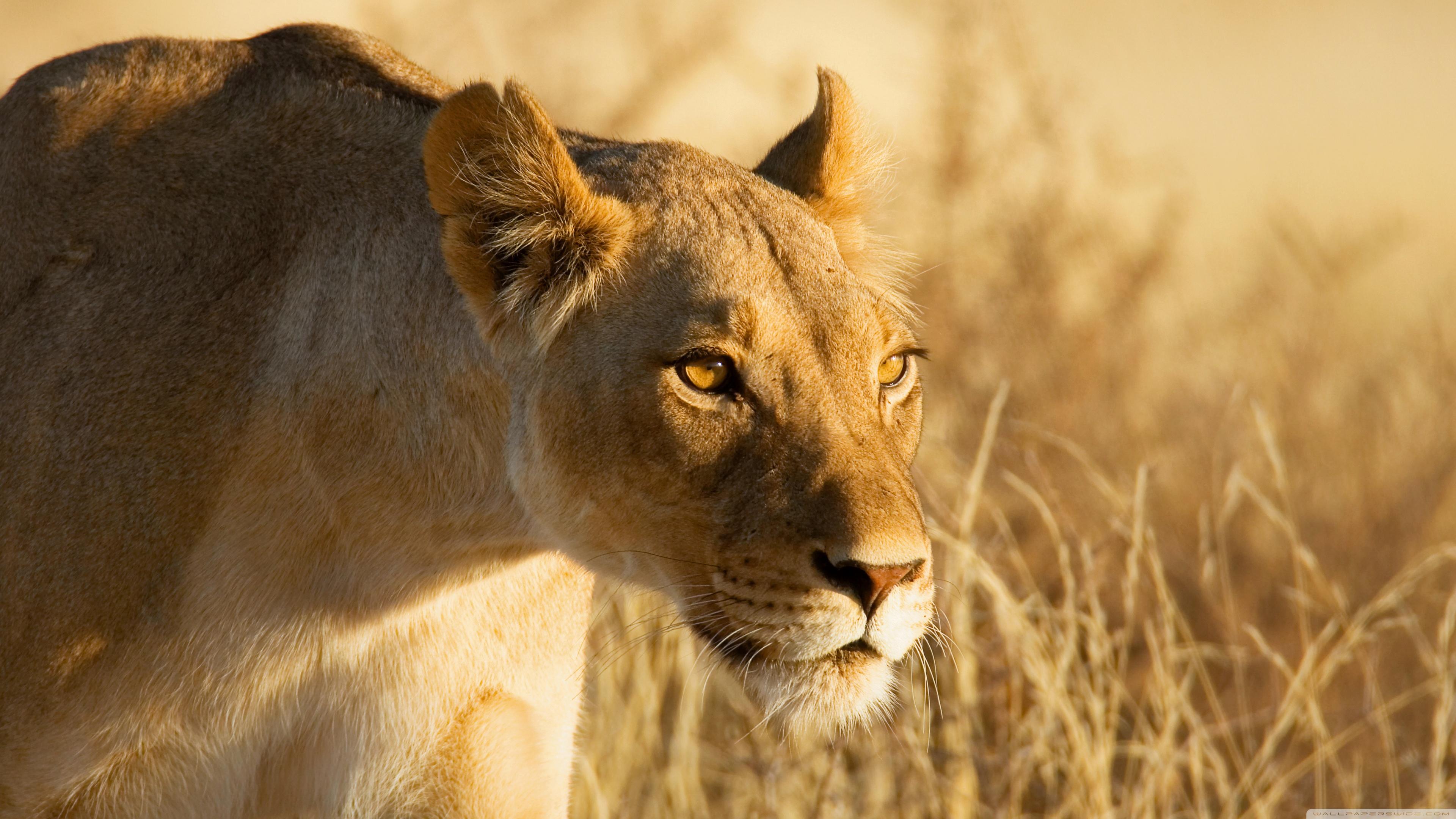 Hunting Lioness ❤ 4K HD Desktop Wallpaper for 4K Ultra HD TV ...