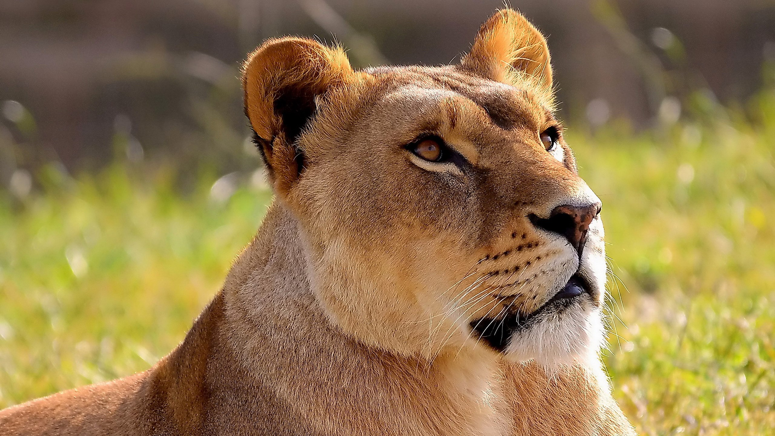 Lioness hd wallpapers » Collections of HDQ (up to 4k) wallpapers and ...