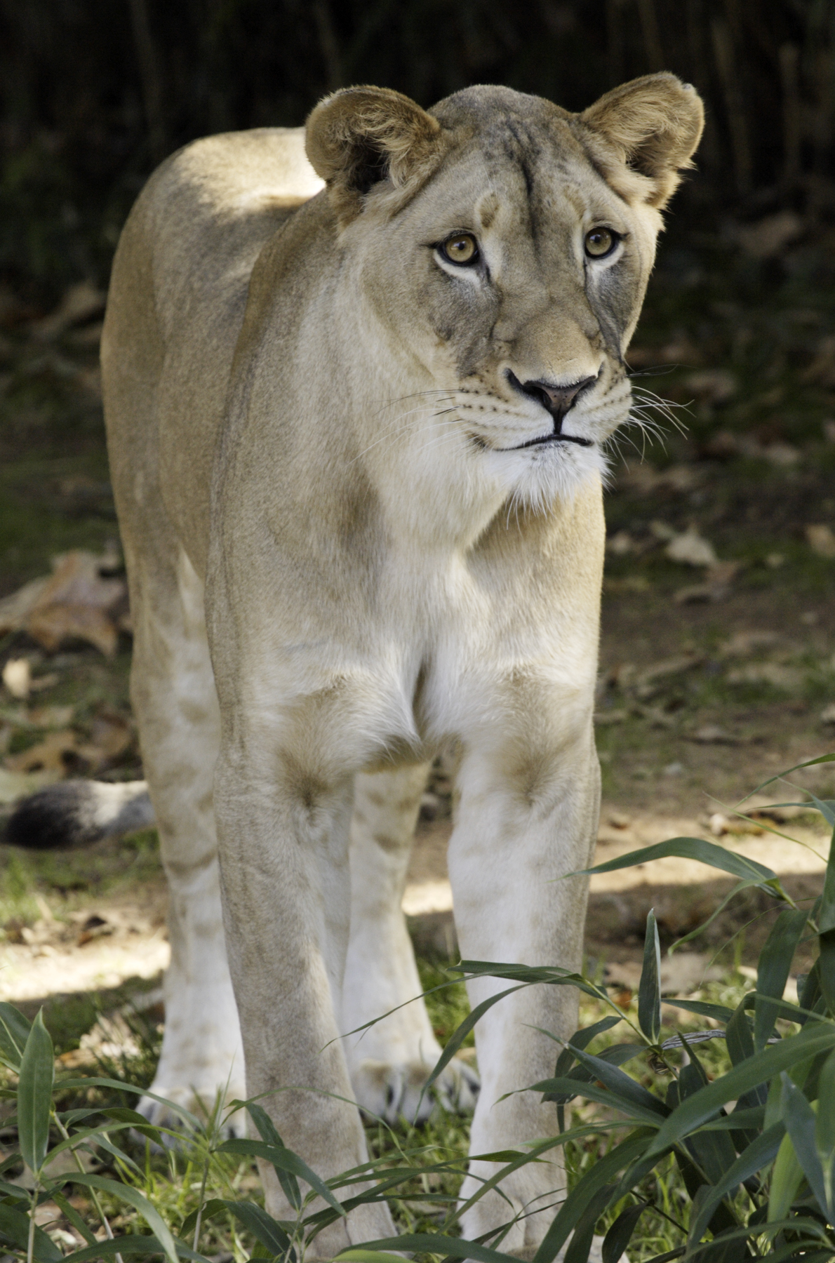 Shera, a 5-year-old lioness at the National Zoological Park ...