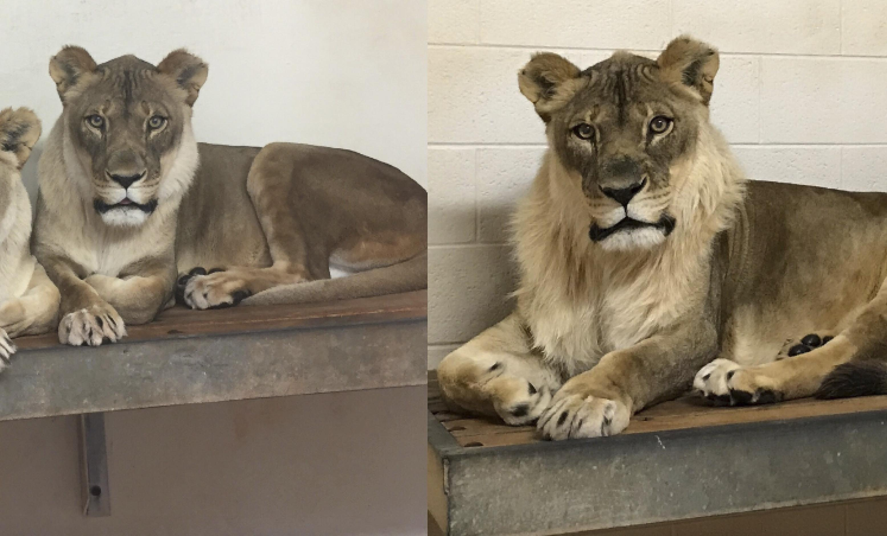 Zoo cracks the 'Curious Case of Bridget the Lioness,' who ...