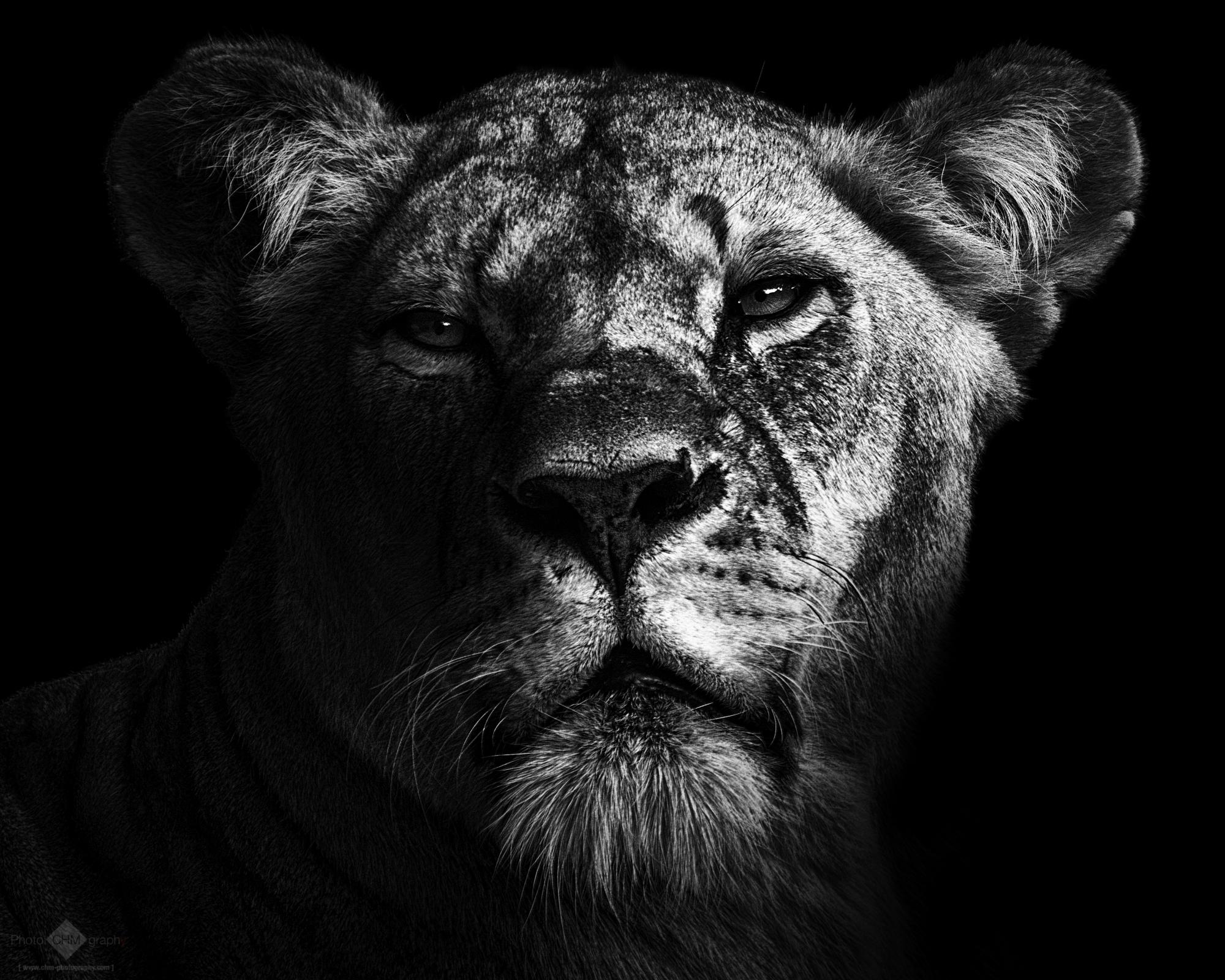 Lioness photo